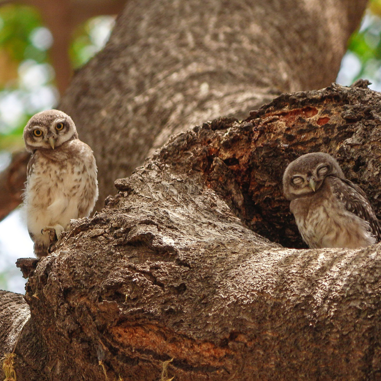 Spotted Owlets by dpk24mt
