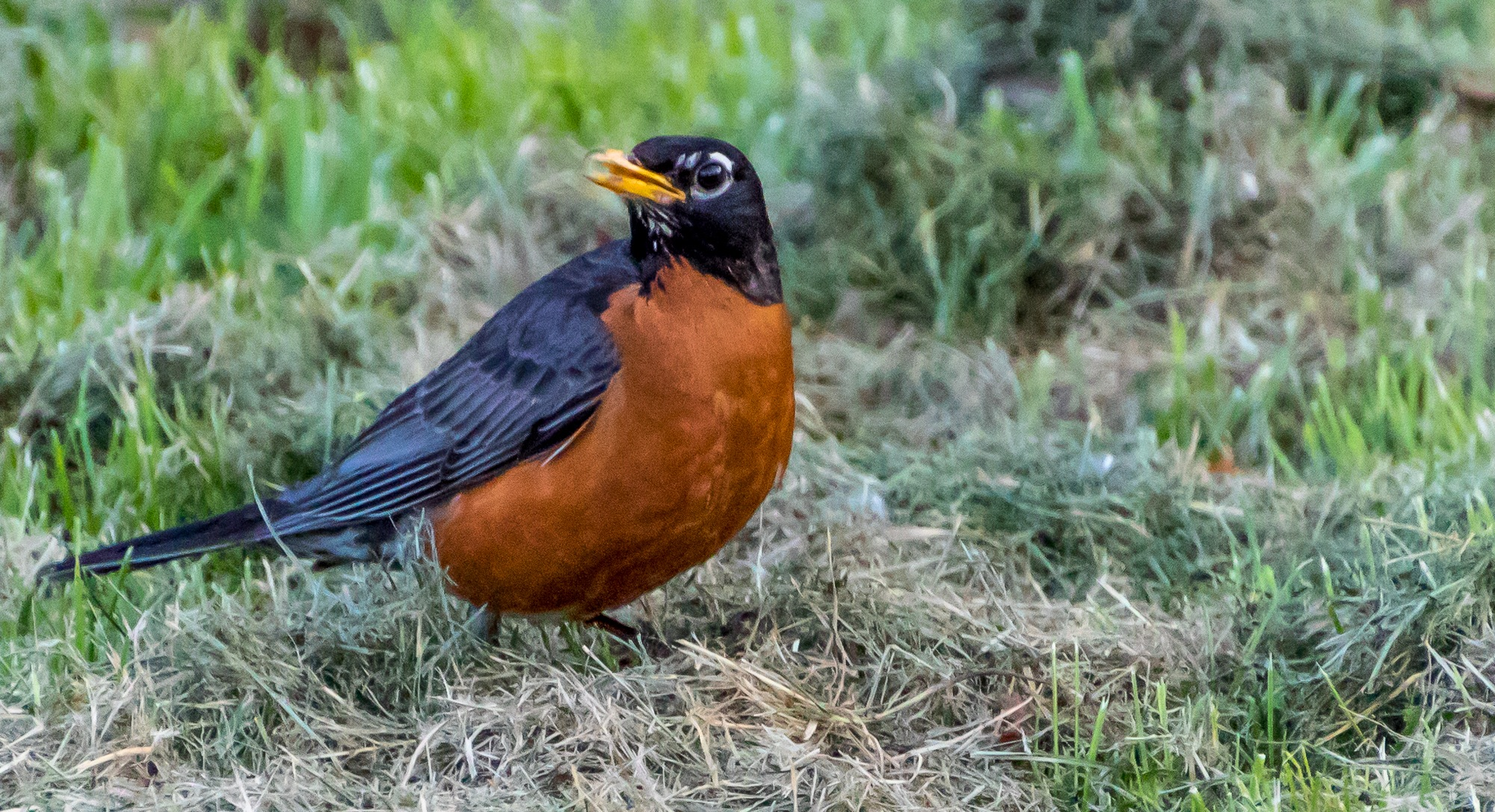 Robin by Steve Struthers