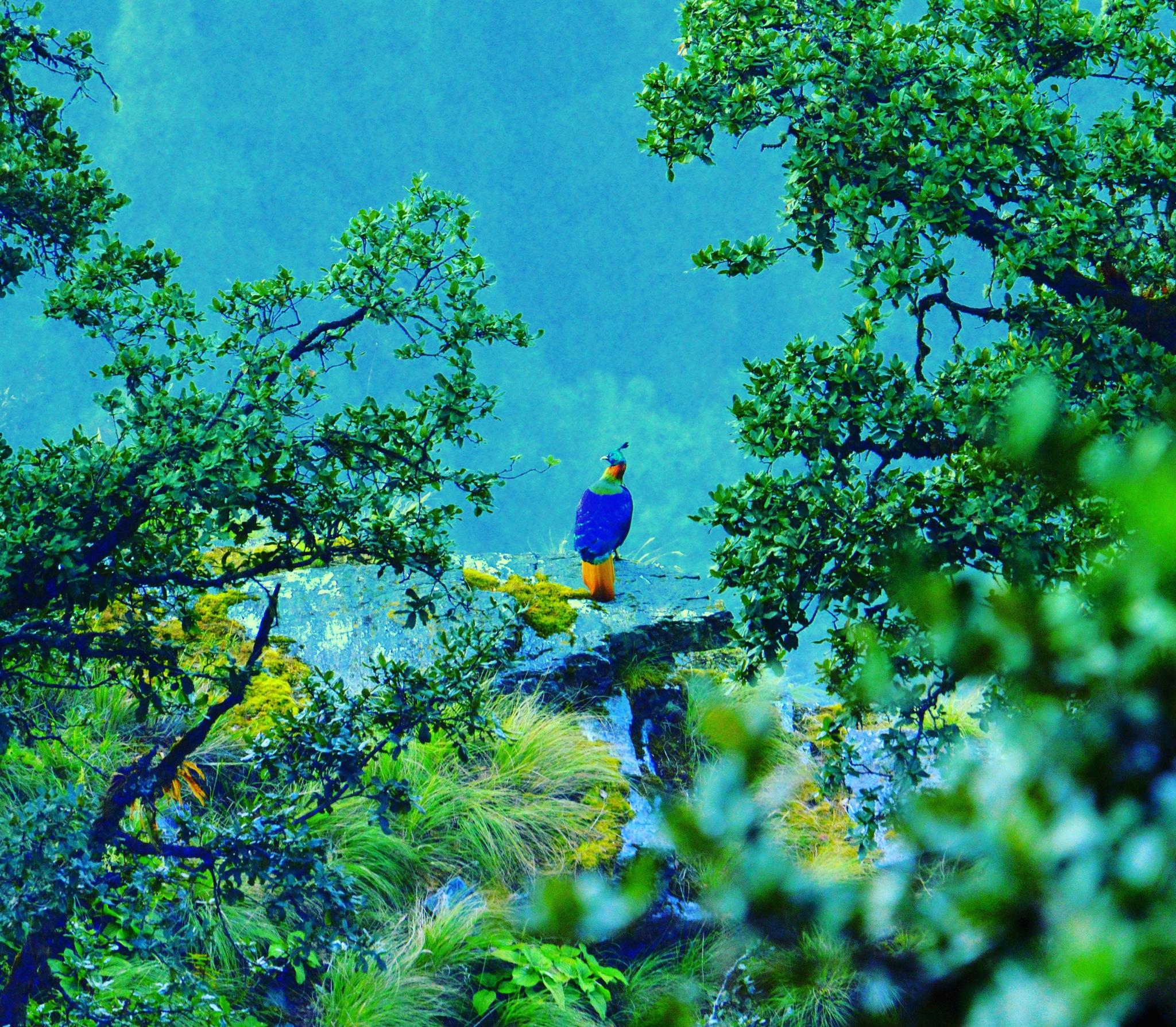 Himalayan Monal by Sarang Mishrikotkar