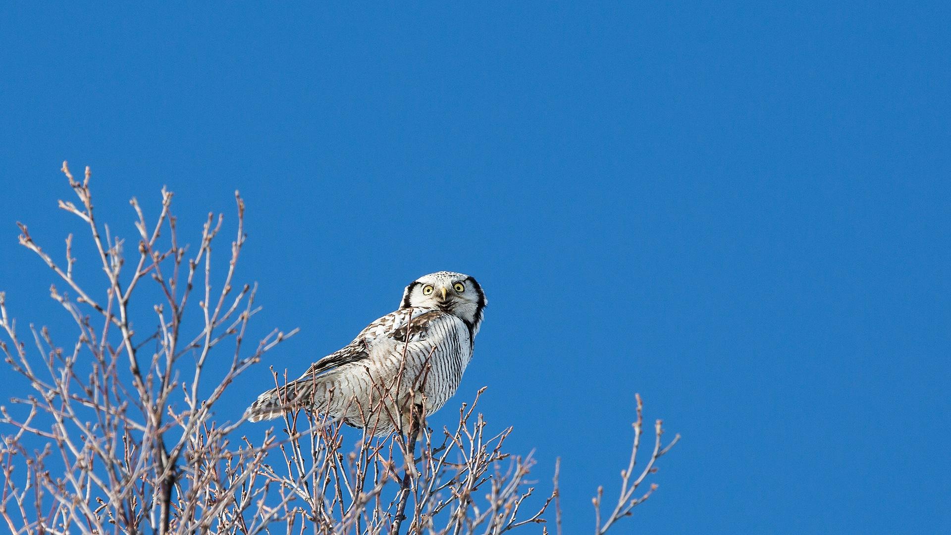 Hawk Owl by Ronny Grytbakk