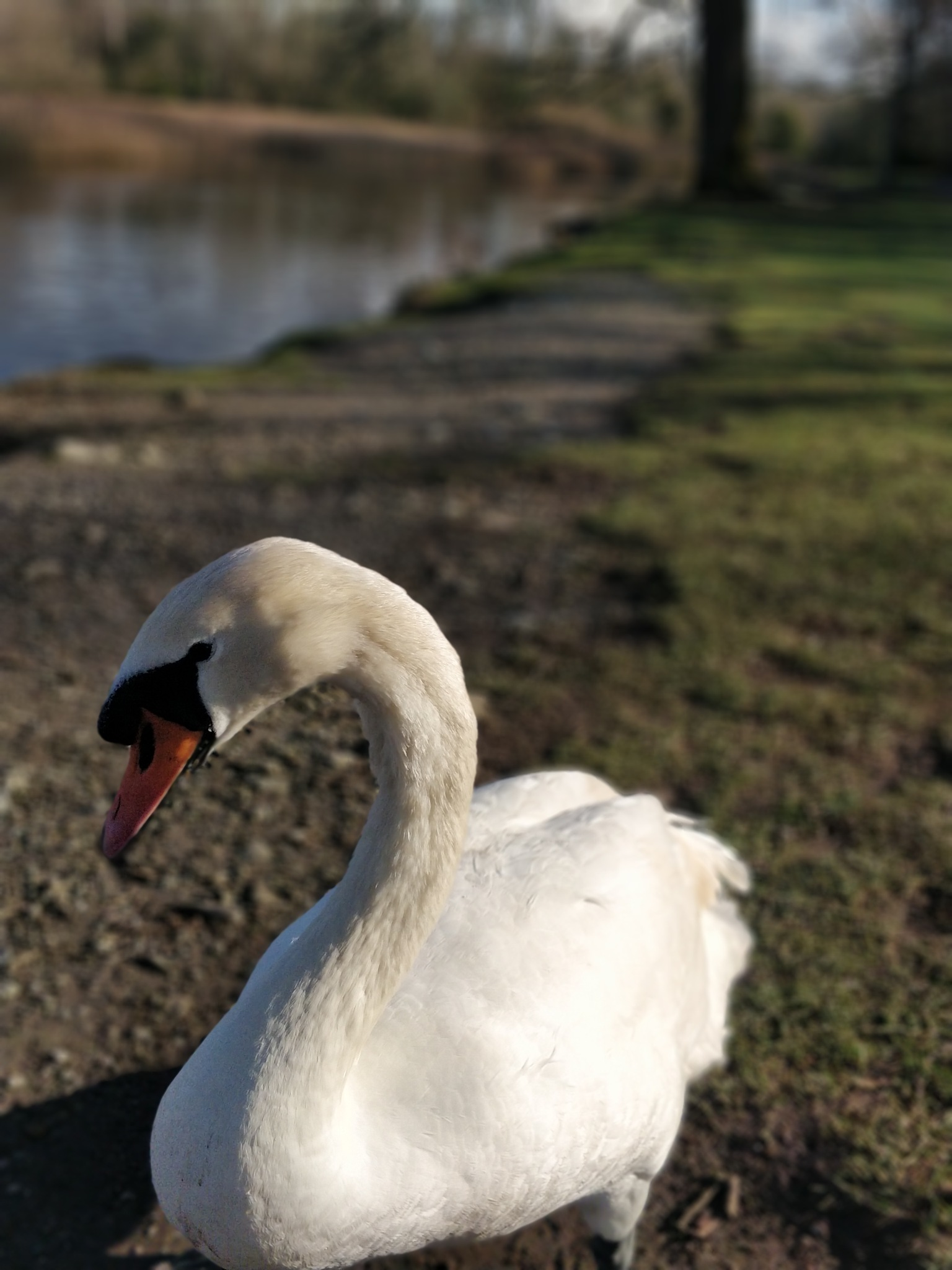 Swan at Emo House Lake by Noel Connolly