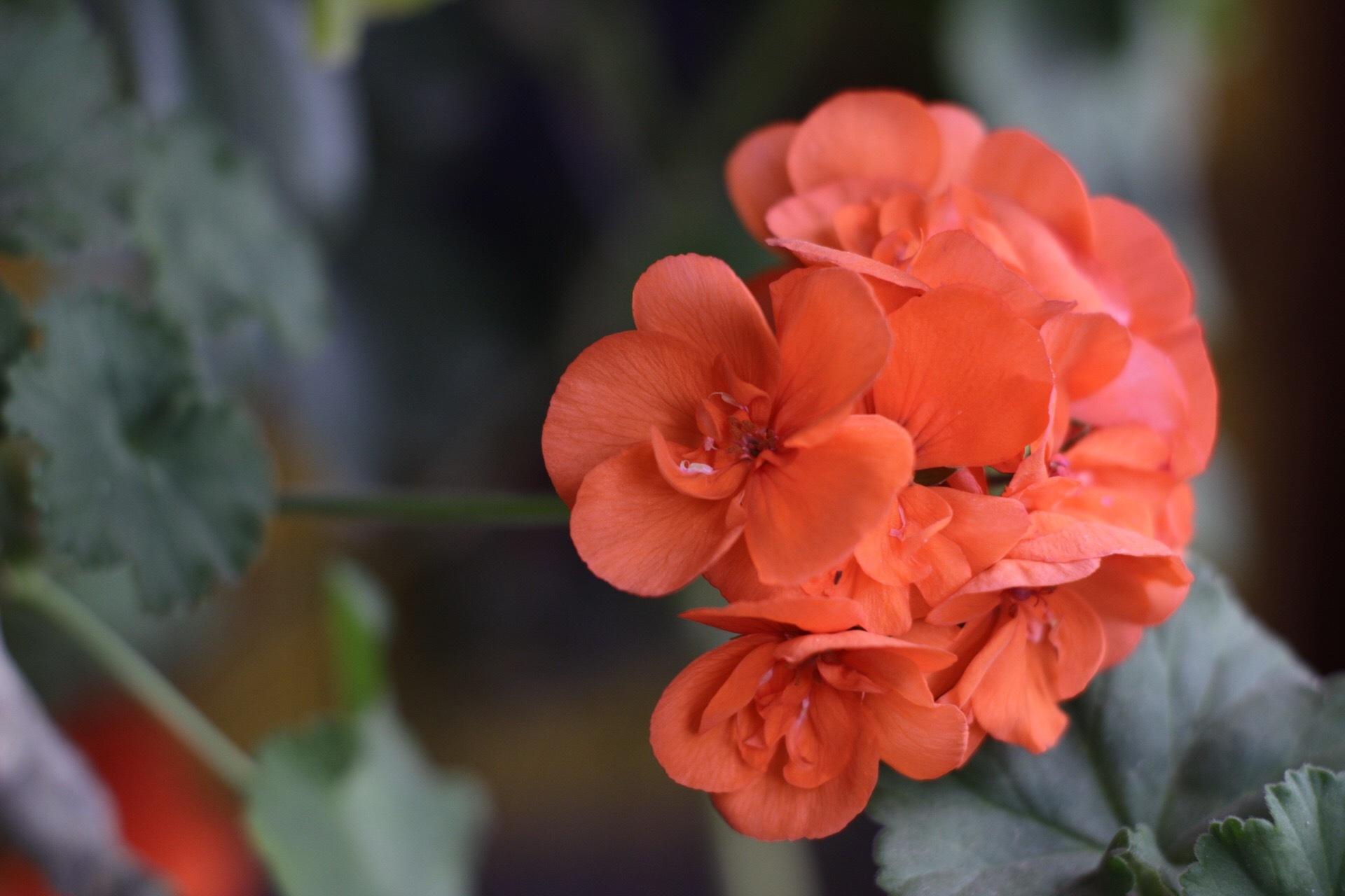 Orange Flower by Josagraphy