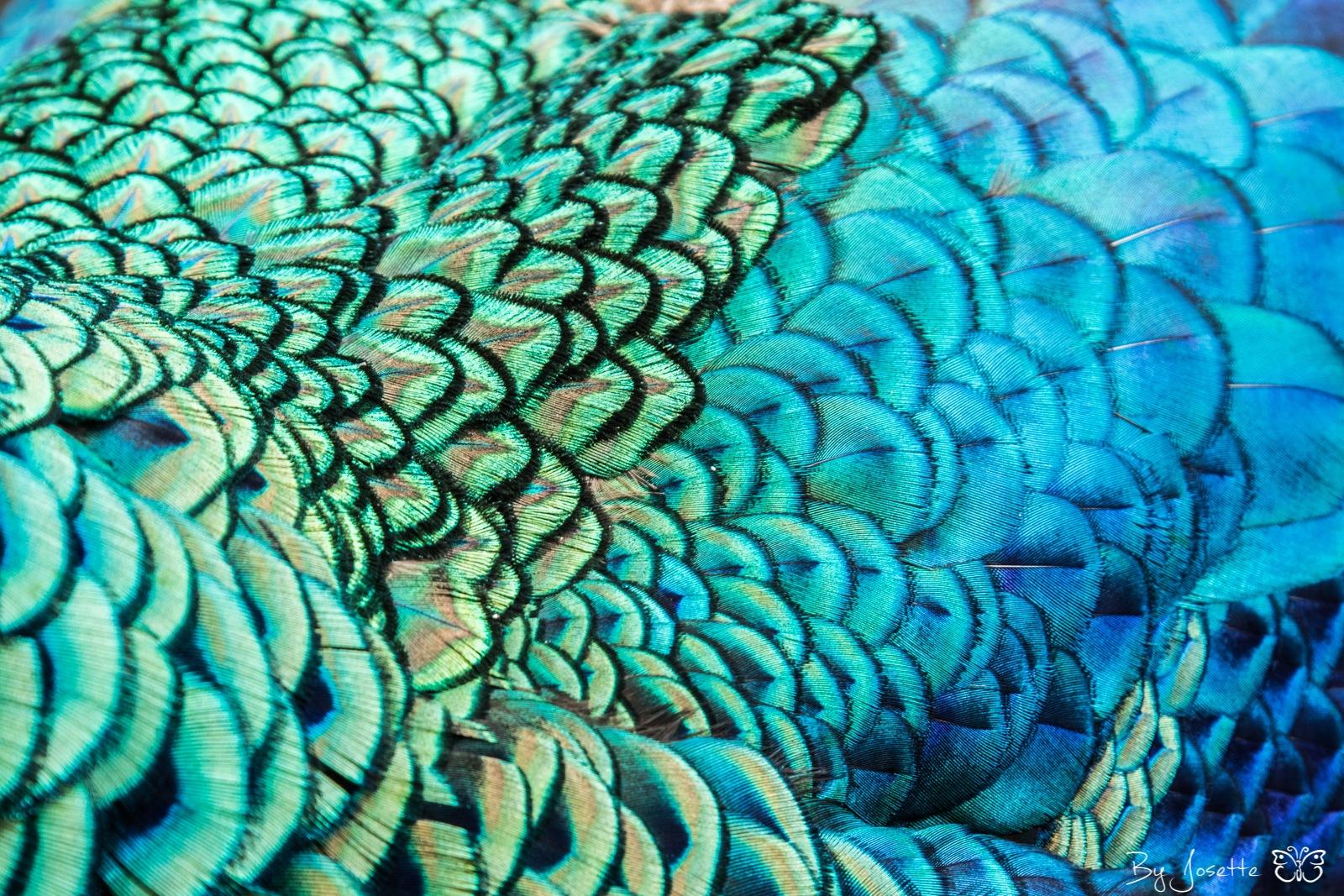 Blue peacock by Josette Veltman
