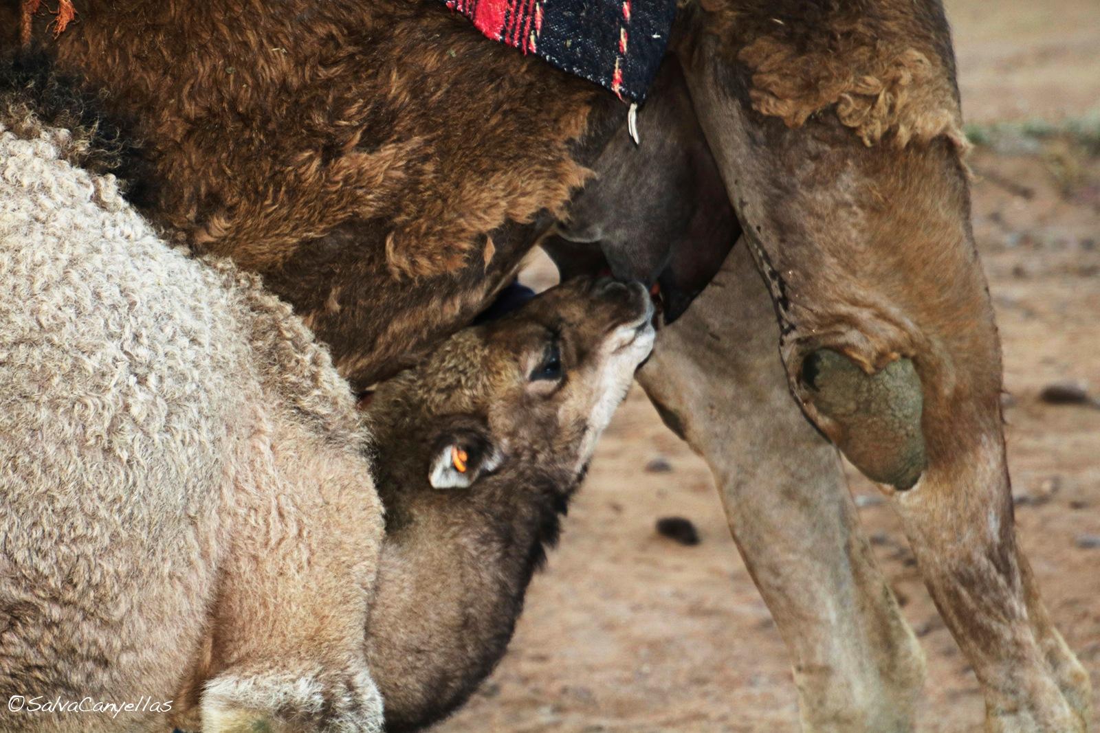 Photo in Animal #camel #camels #camelus dromedarius #breastfeeding #suckling