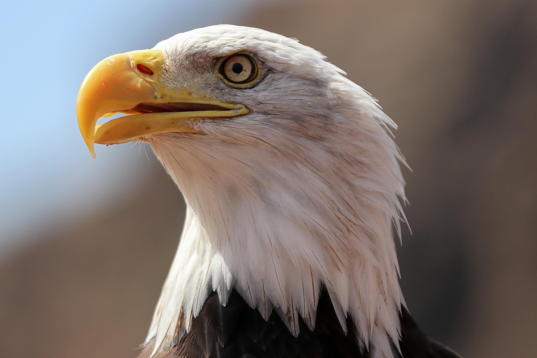 Eagle by Aldi Daldi