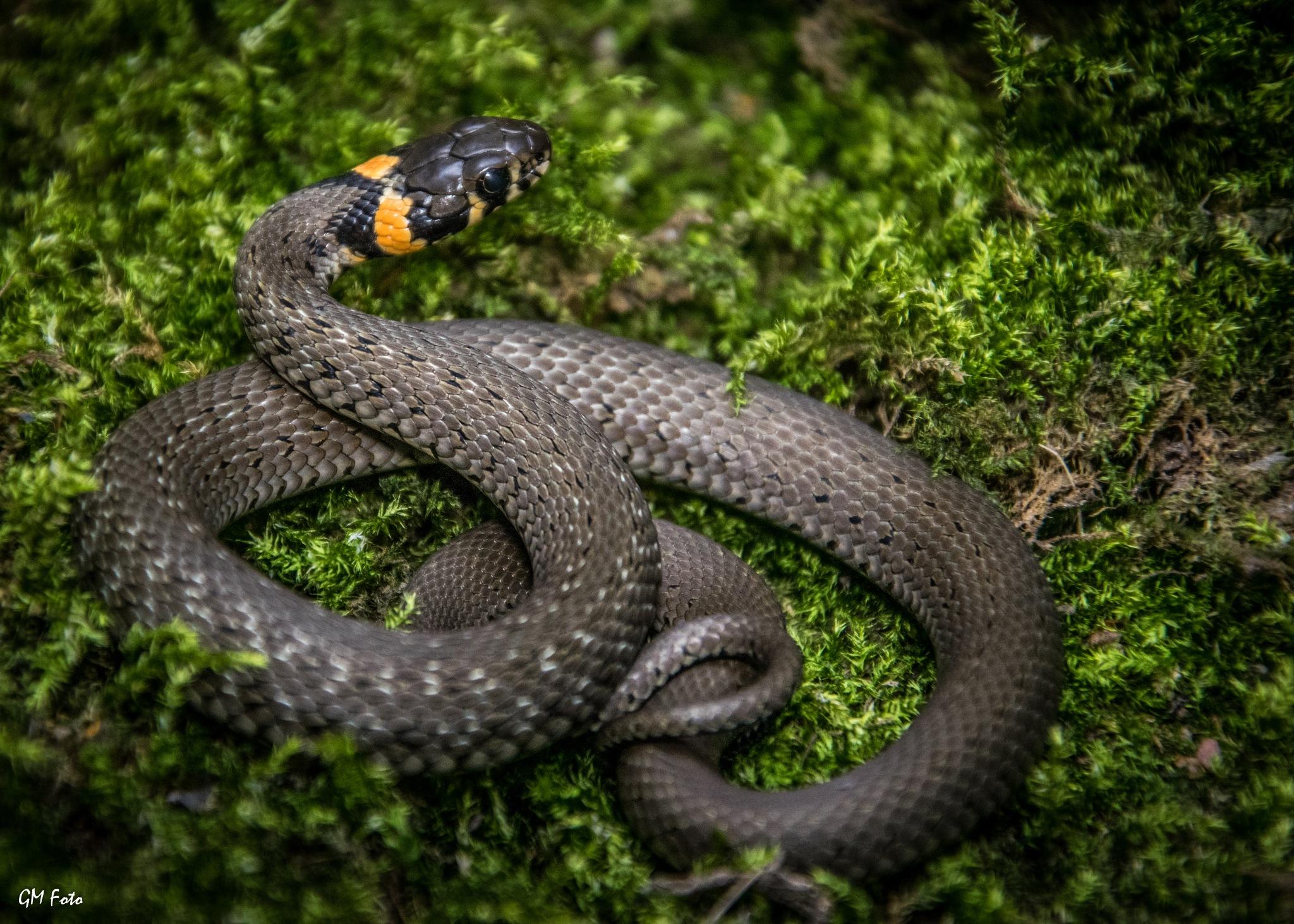 Grass Snake by GMFoto