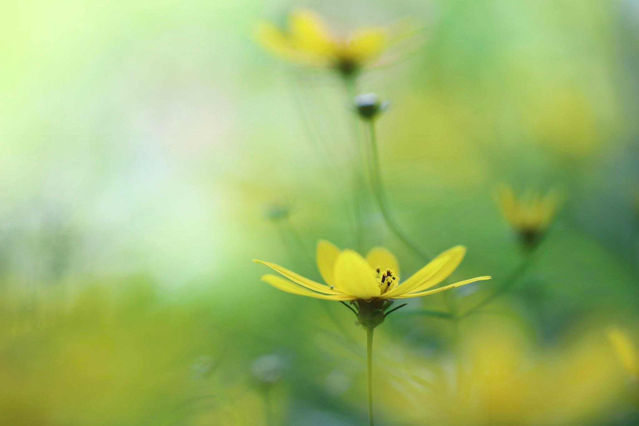 黄色い花 by kumikoxinye539
