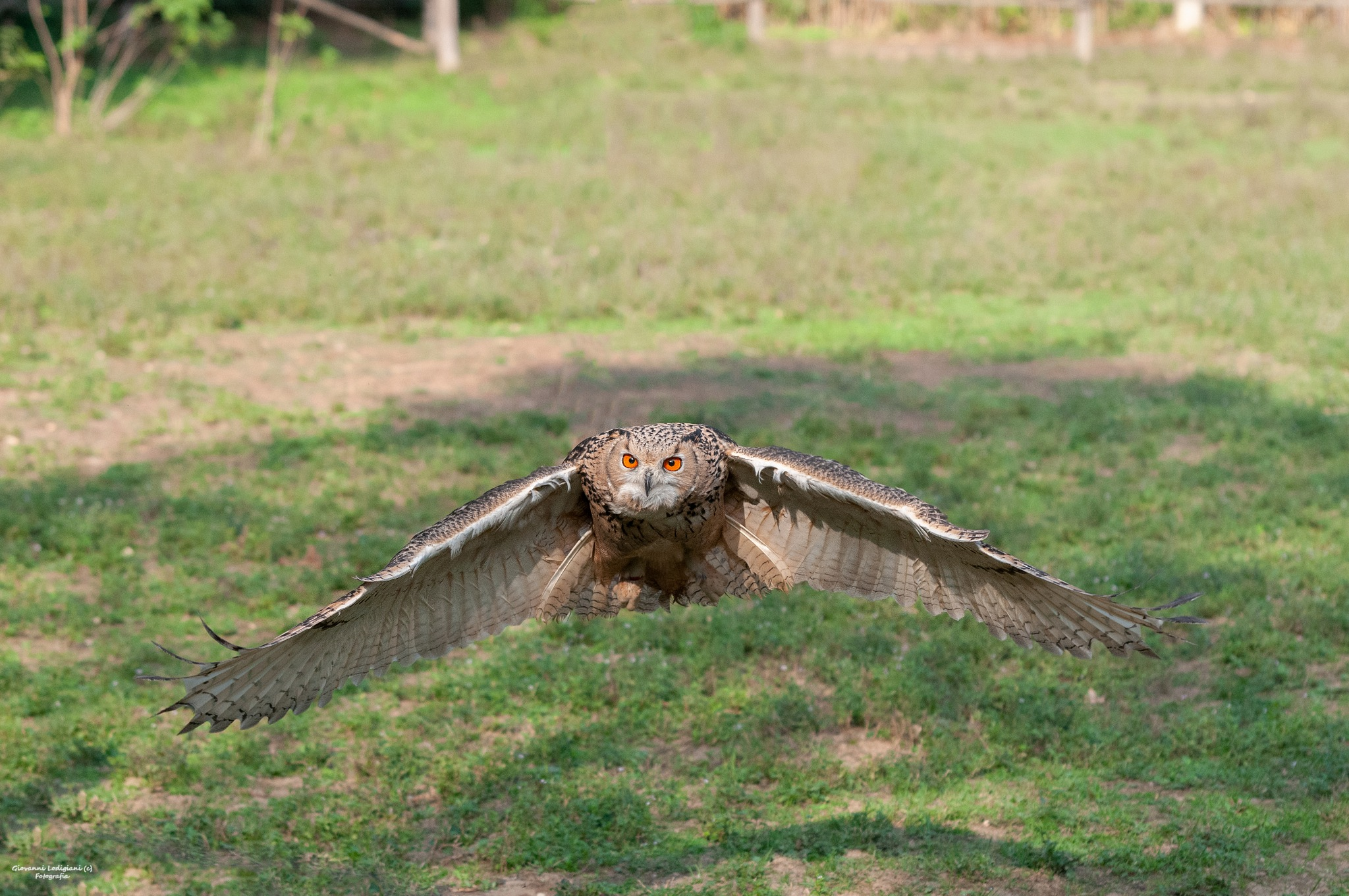 siberian owl by giovanni