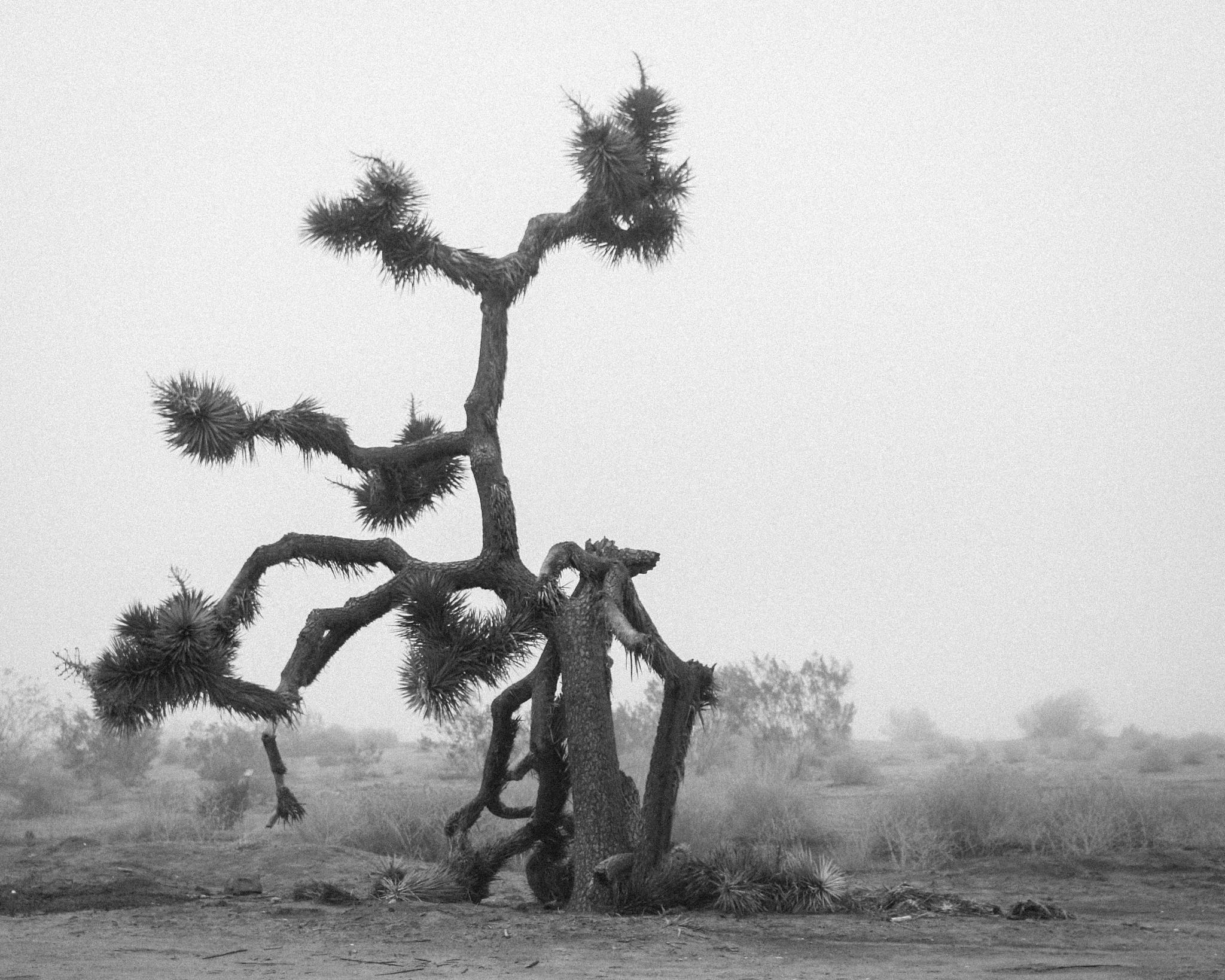 Joshua tree in the fog. by Kim Sanders