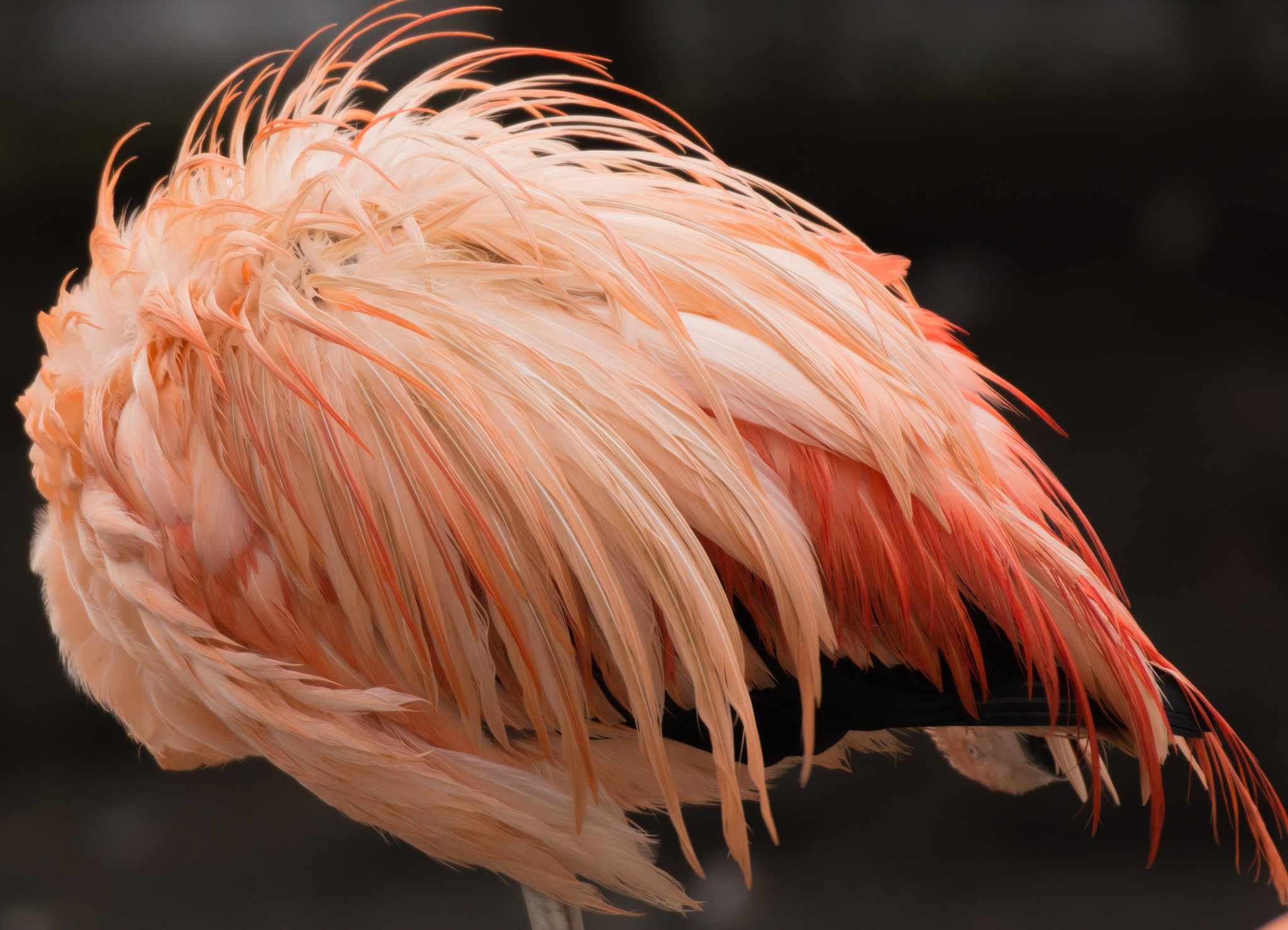 Flamingo  by Dennis riezebos