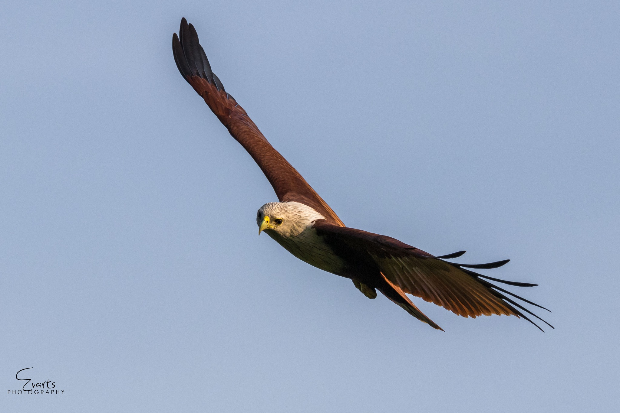 The Brahminy Kite  by Evarts Ranley