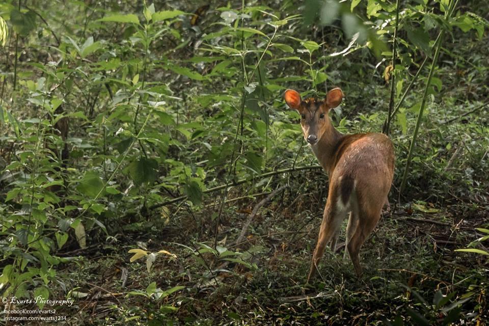 The female Barking Deer by Evarts Ranley