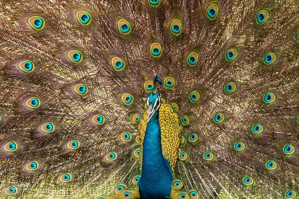 Peacock by Evarts Ranley