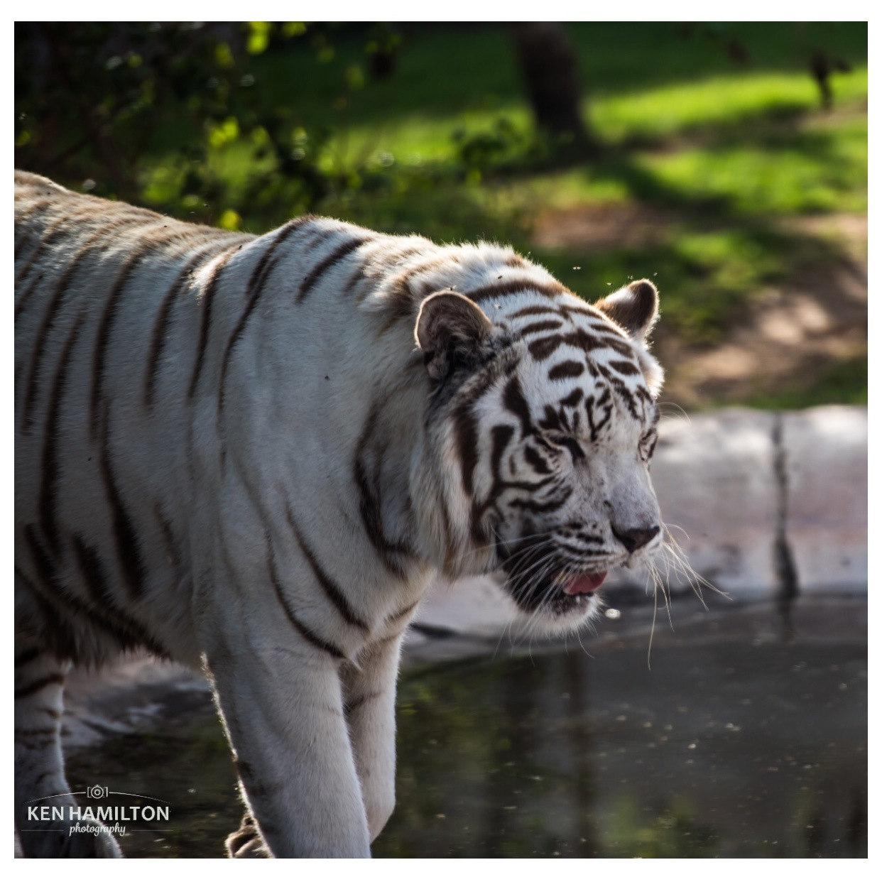 Albino Tiger by KenHamilton