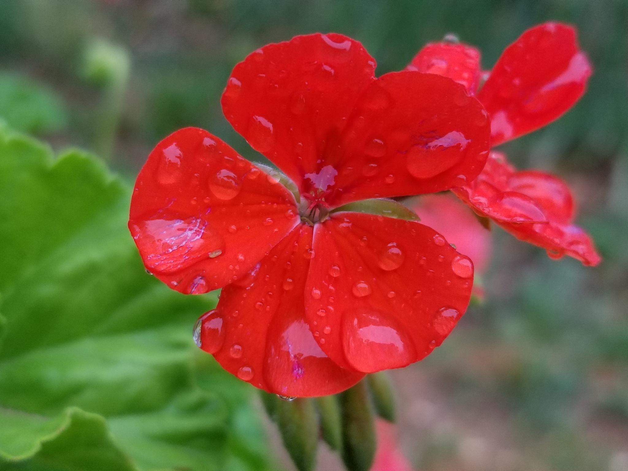 beautiful flower  by Amer Dradka