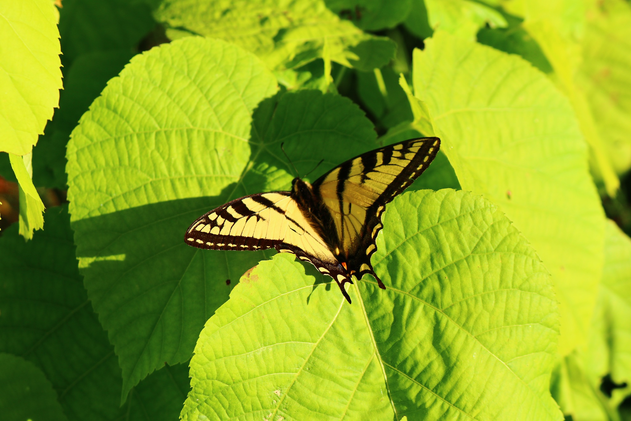 A Yellow Butterfly At Paugh Lake  by Eric Fabian