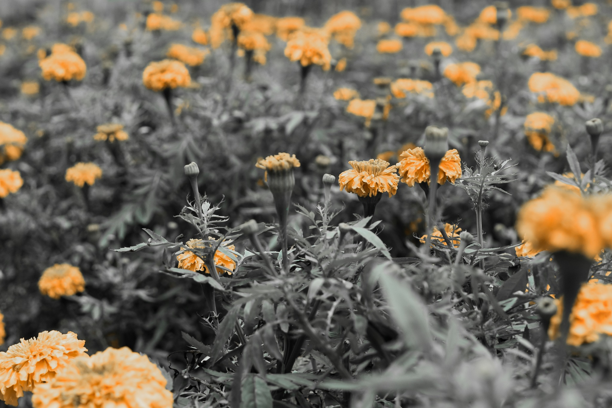 Marigold Garden by Yoshua Surjo