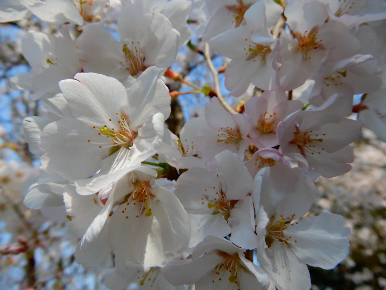 Beautiful sakura by Yuka Isobe