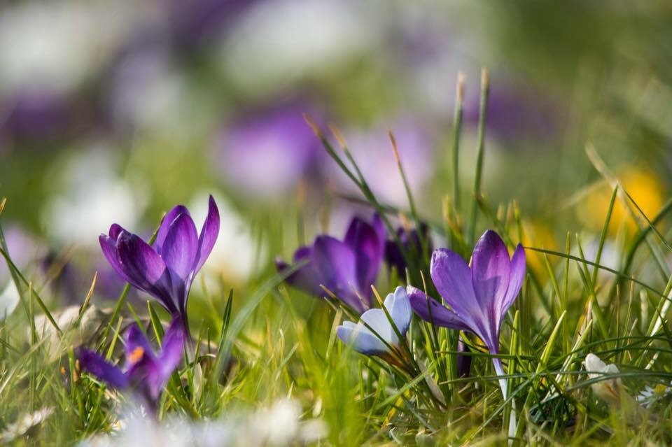 Happy Easter Krokusse Ostern by Adam Schröder