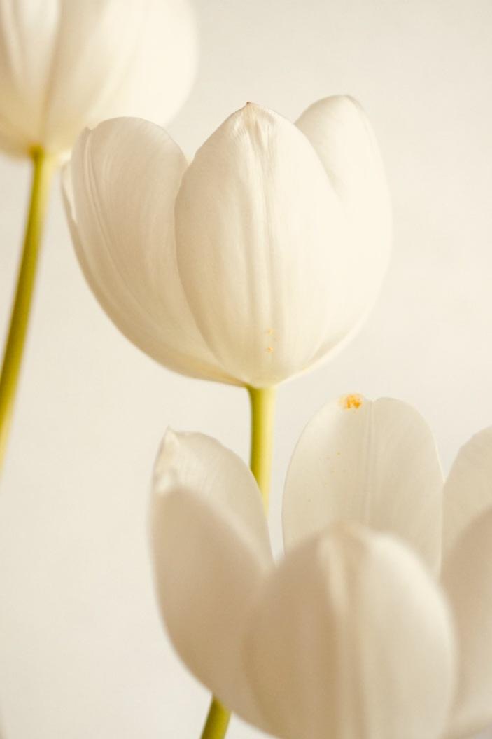 Tulips  by Adam Schröder