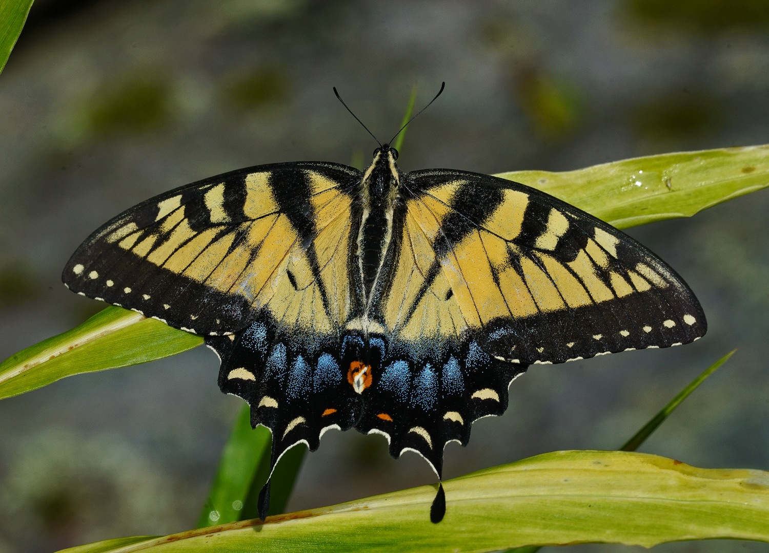 swallowtail on green by Greg and Verena Sava