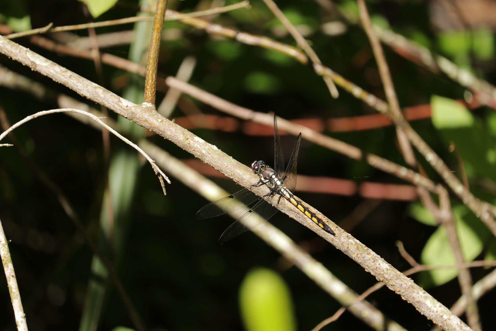 Dragonfly by Harry Hambrick