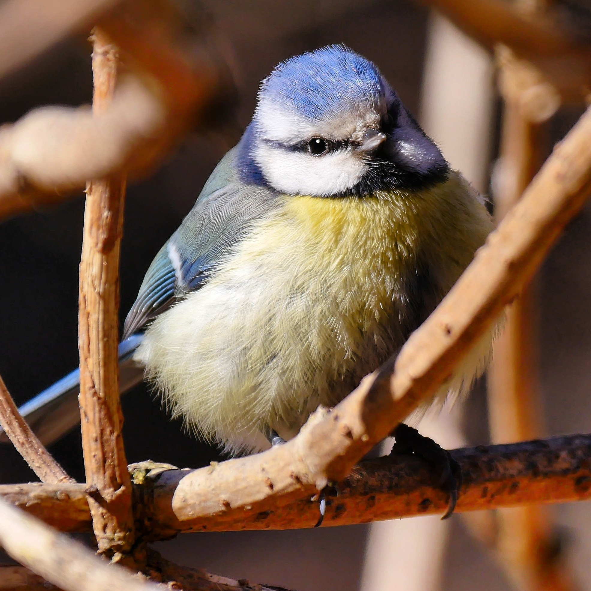 blue Tit by Michael Boris