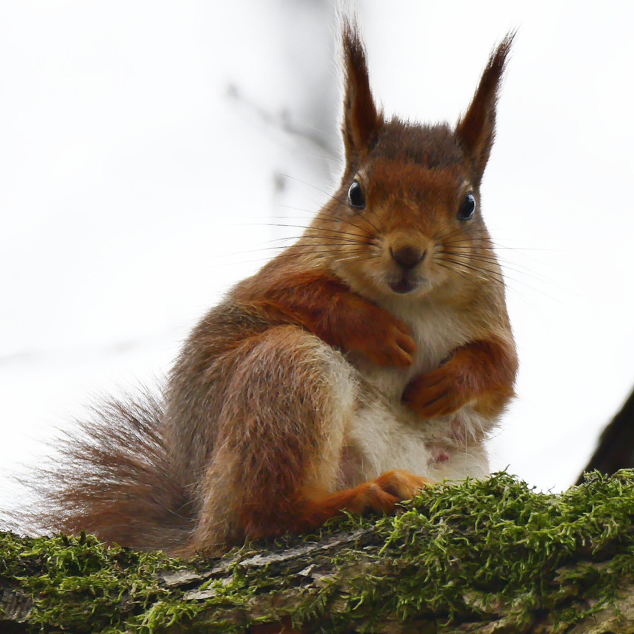 Squirrel of Sickla by Michael Boris