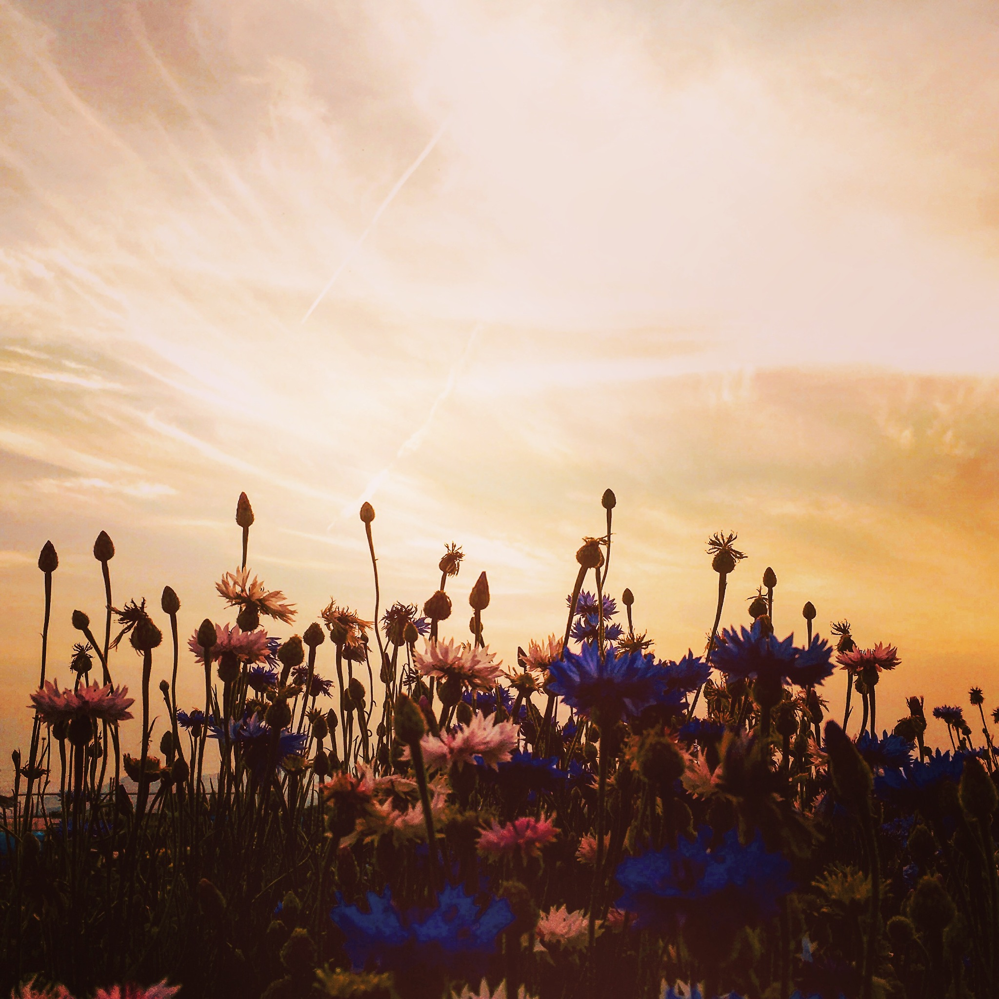 Flowers & Sunset by Lucia_skylover