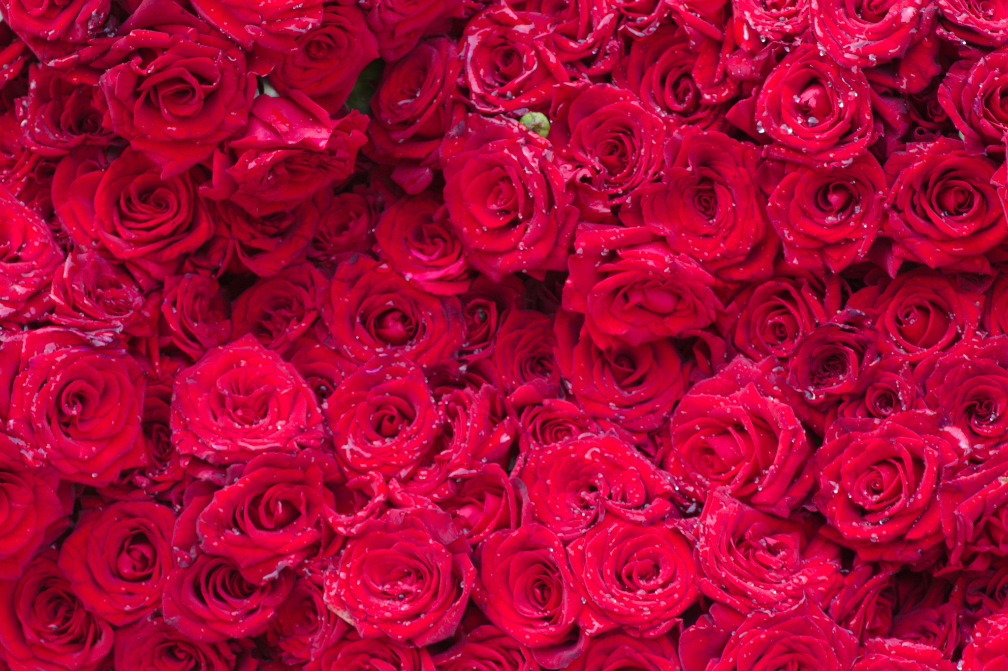 Wall of wet red roses by Guruprasad B. Gopinath