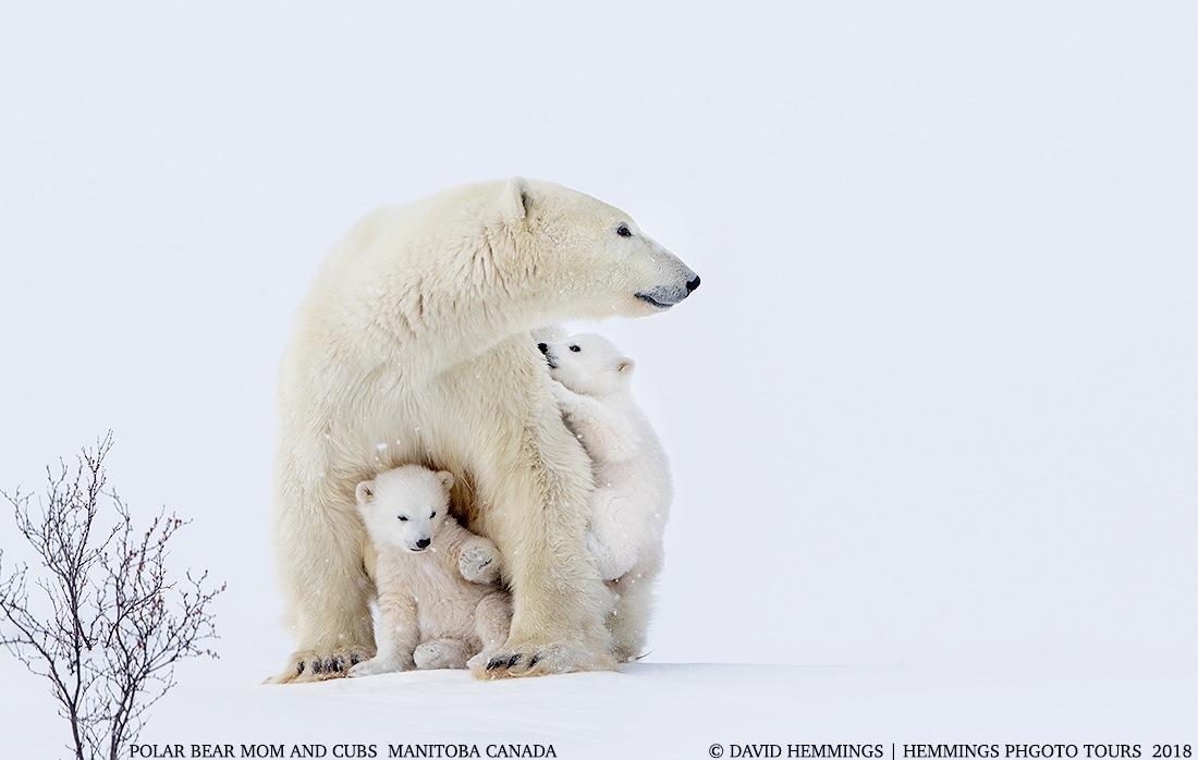 Polar Bear Playtime by David Hemmings