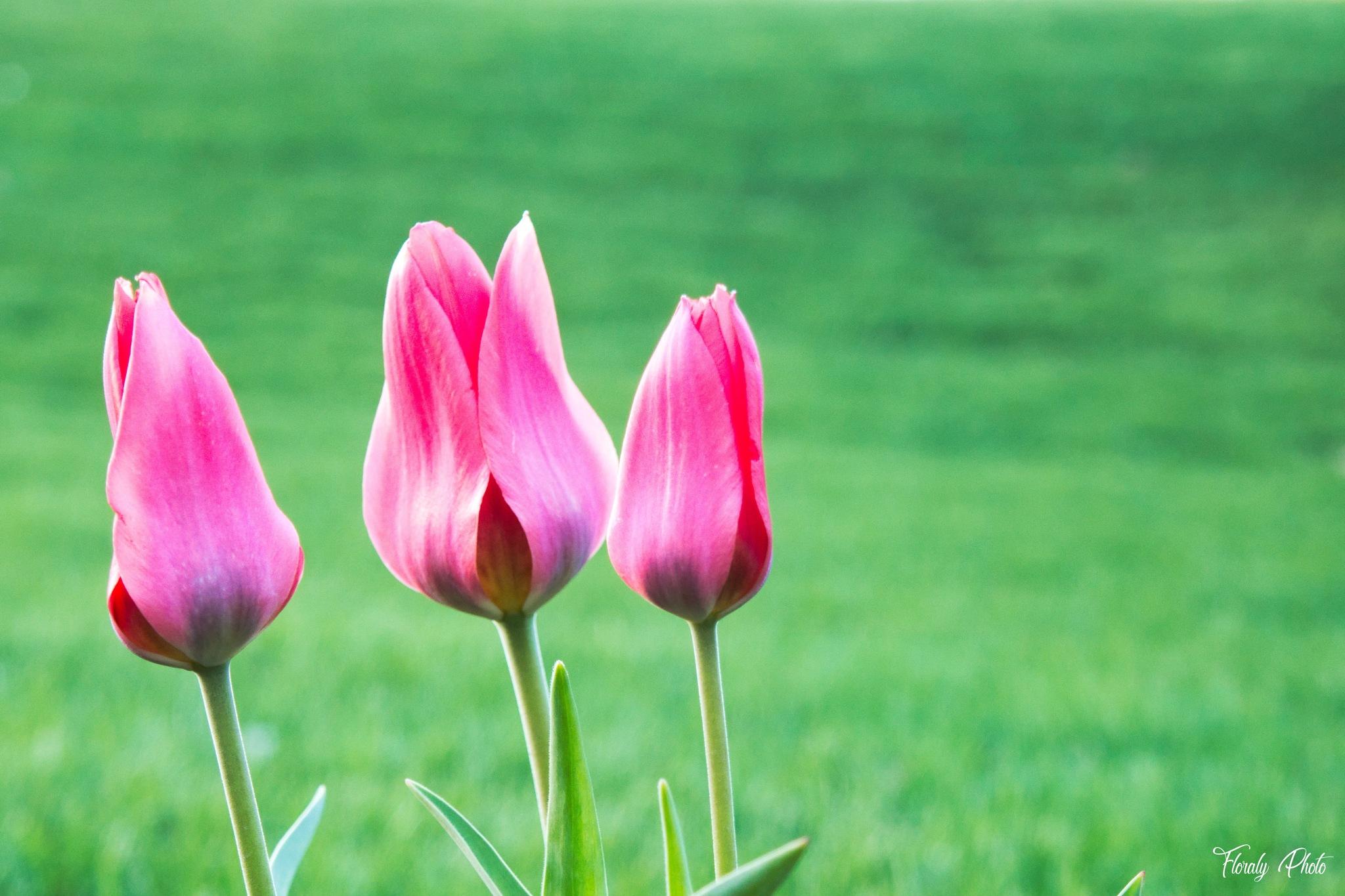 Trois-Rivières - Les 3 tulipes by FloralyPhoto