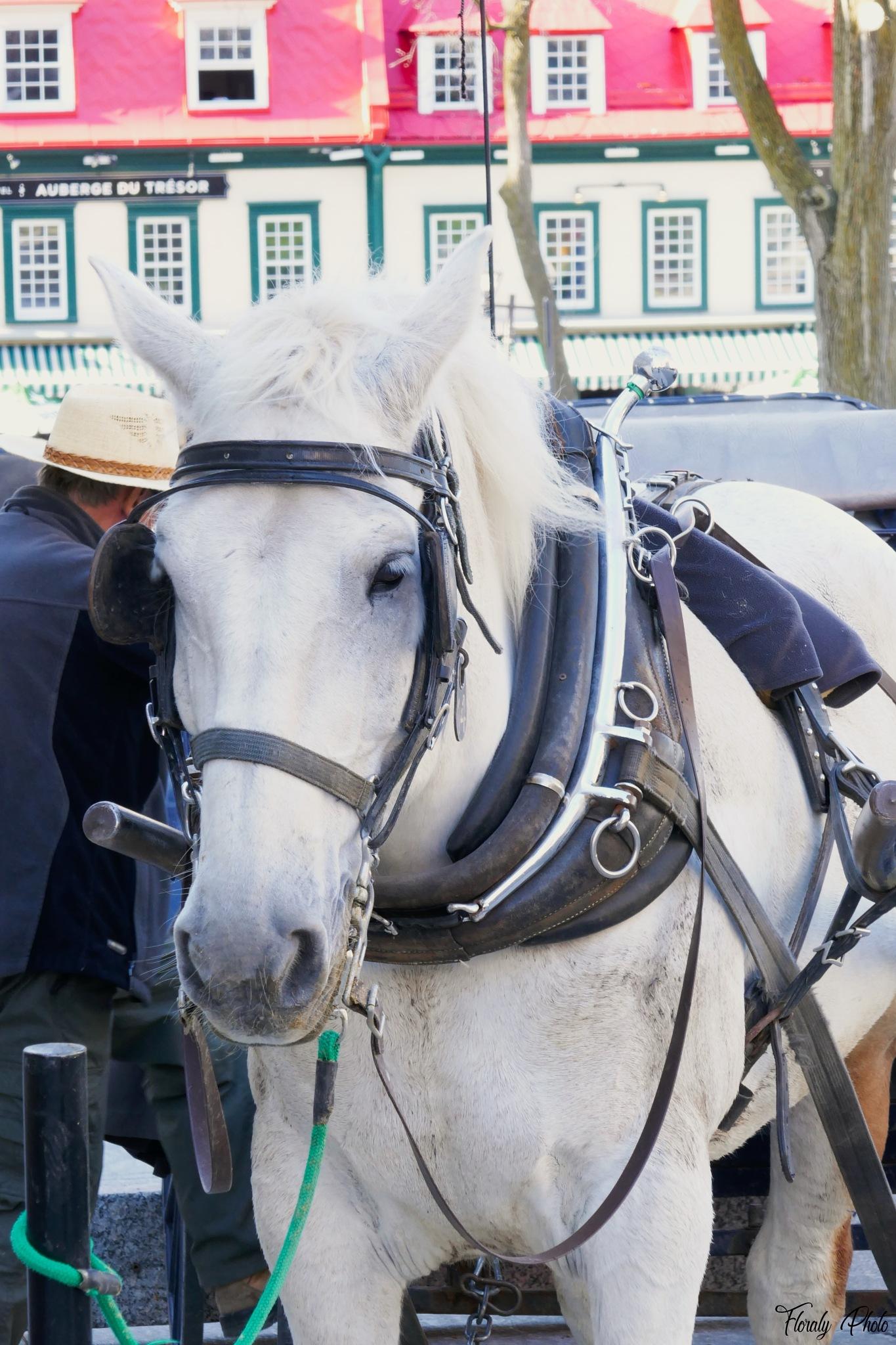 Québec - Le cheval blanc by FloralyPhoto