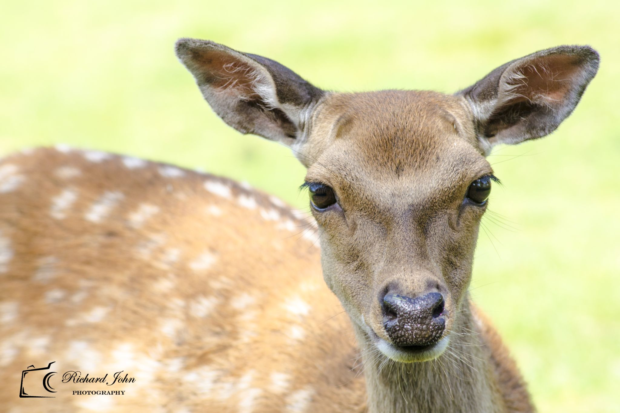 Young Female Deer by RichardJohnPhotography