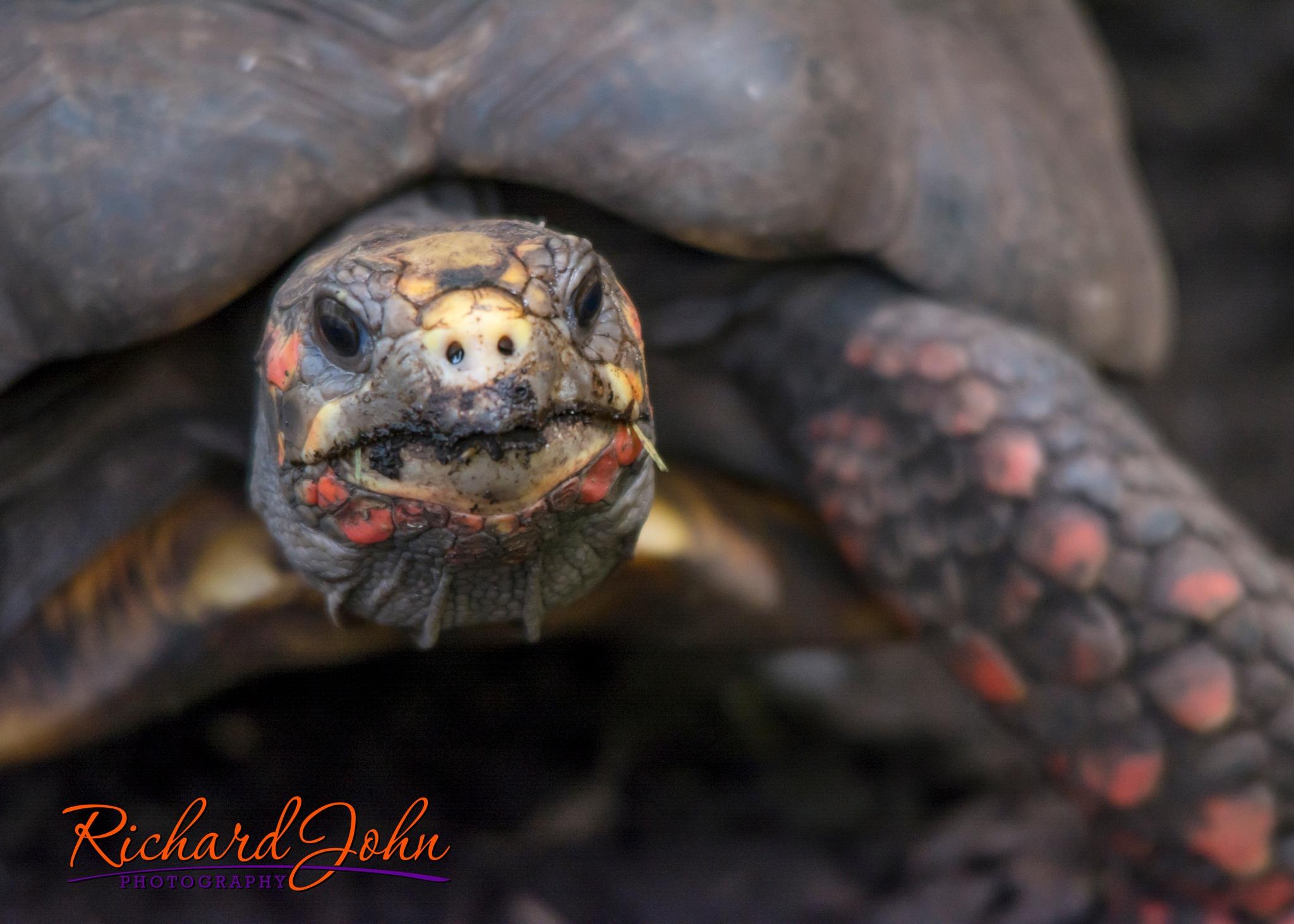Red Tortoise by RichardJohnPhotography
