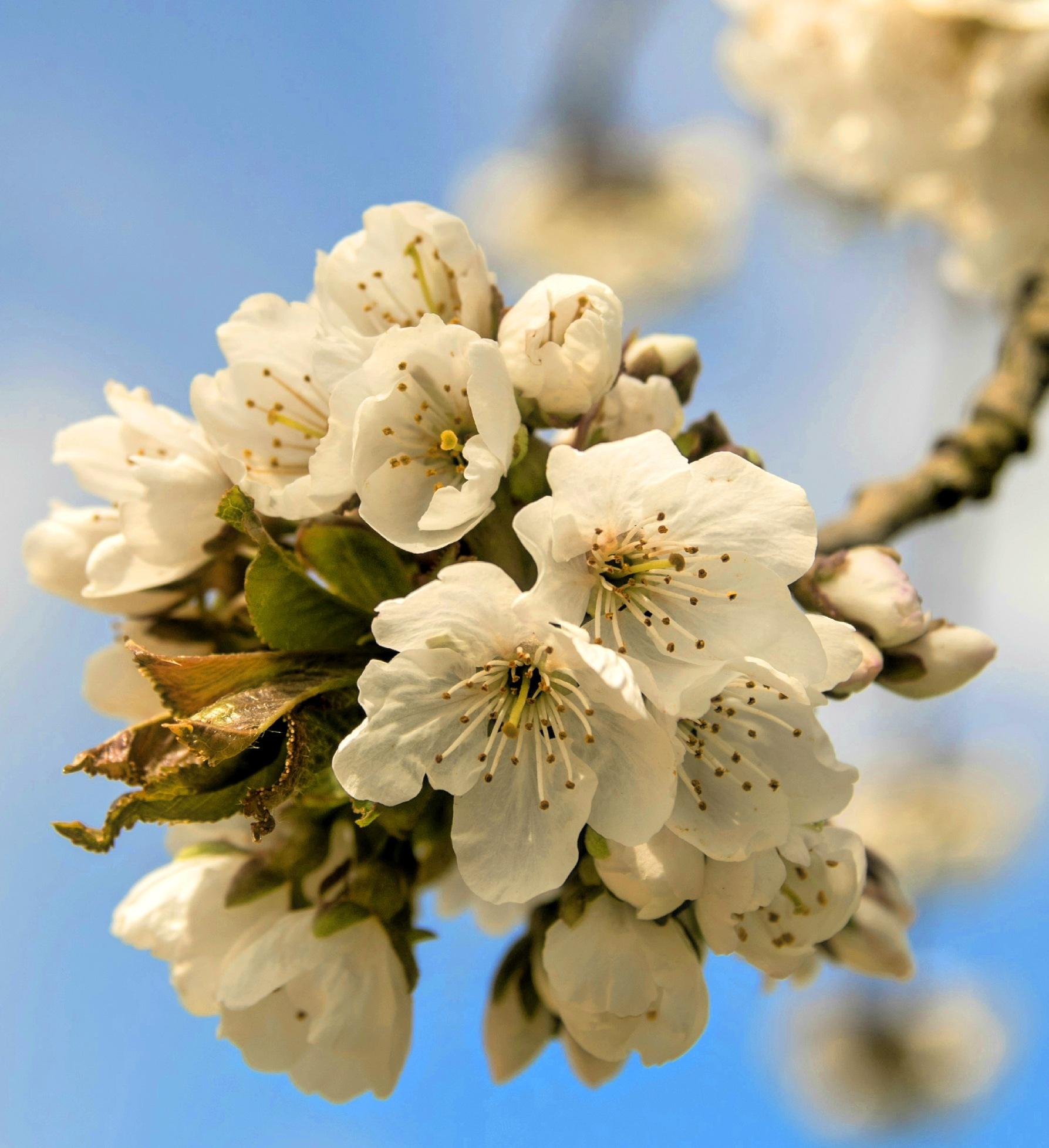 Cherry Blossom by Rausch Marie-Jean