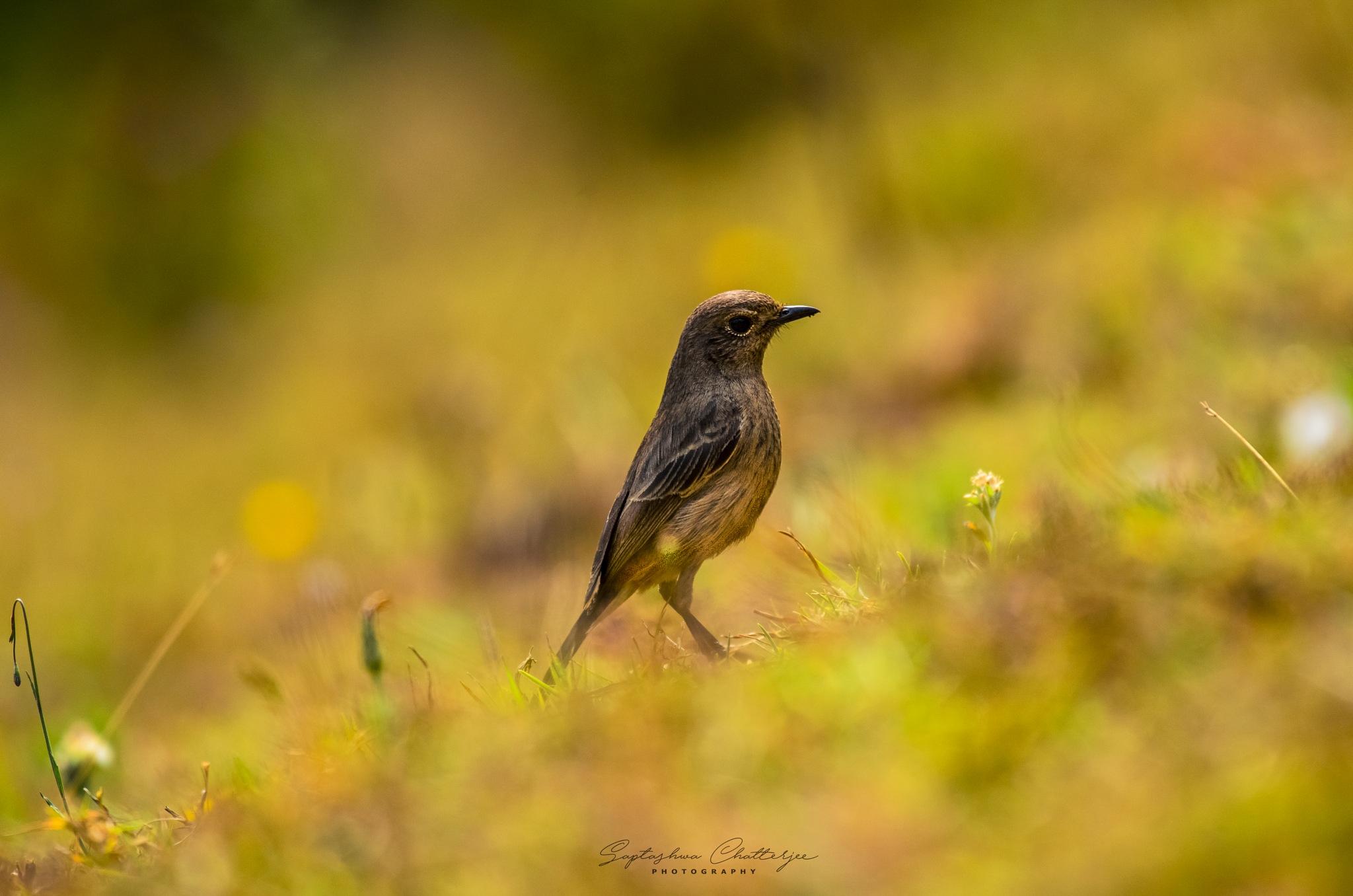 Pied Bushchat Female by Saptashwa Chatterjee
