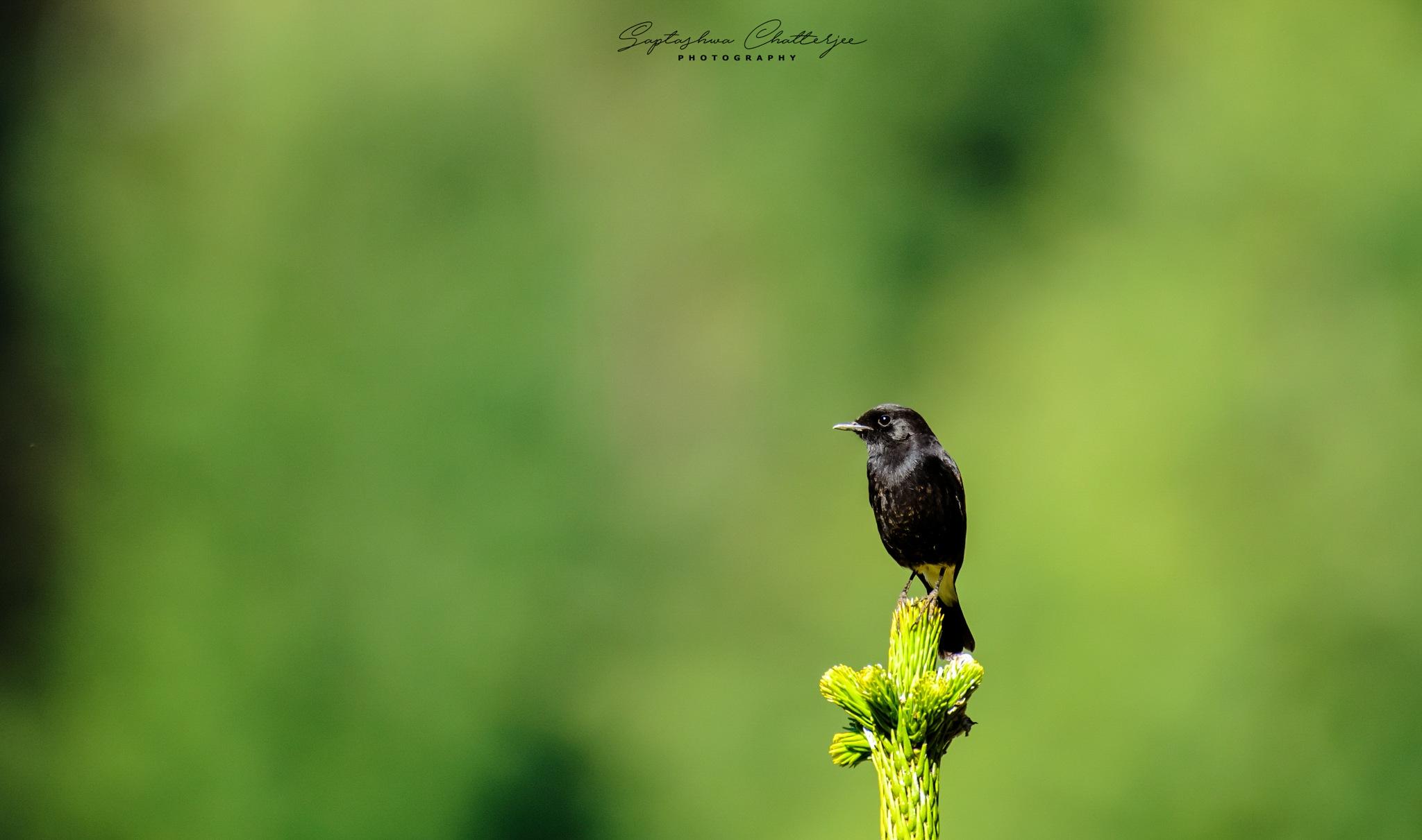 Pied Bushchat Male by Saptashwa Chatterjee