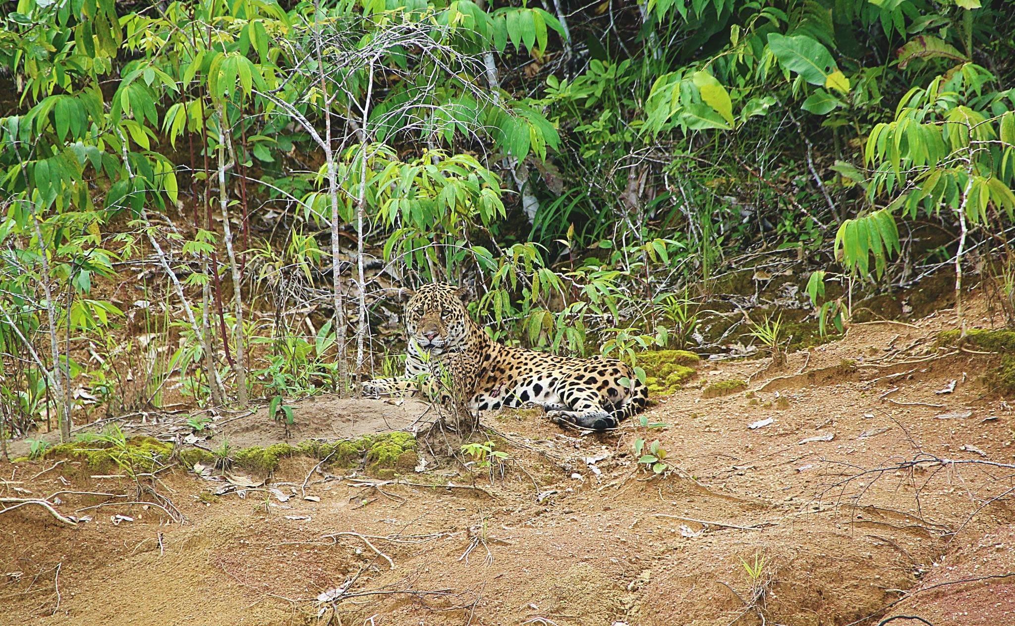 Wild Jaguar by Fedja Mihajlovic