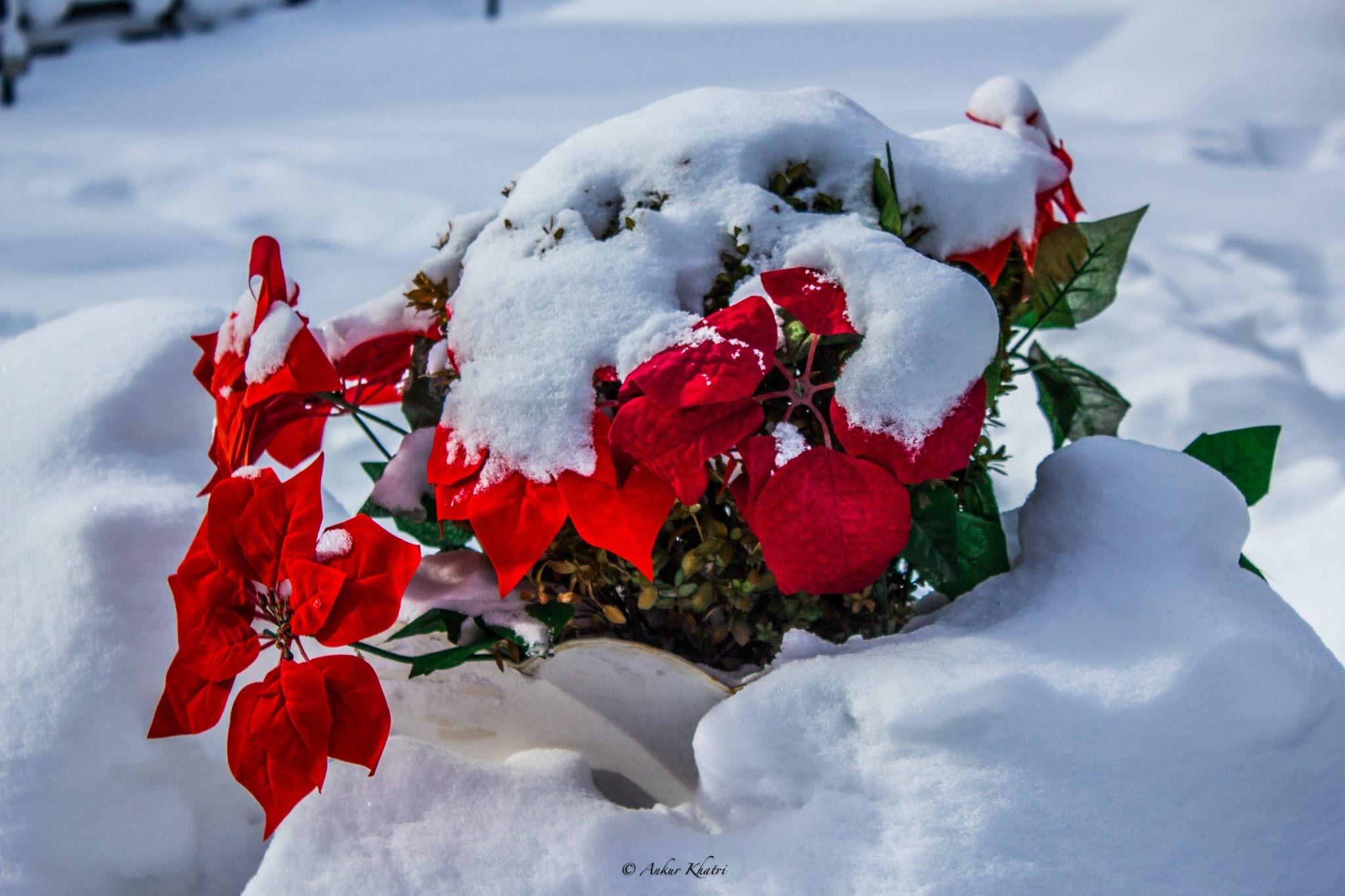 Snow covered flowers by Ankur Khatri