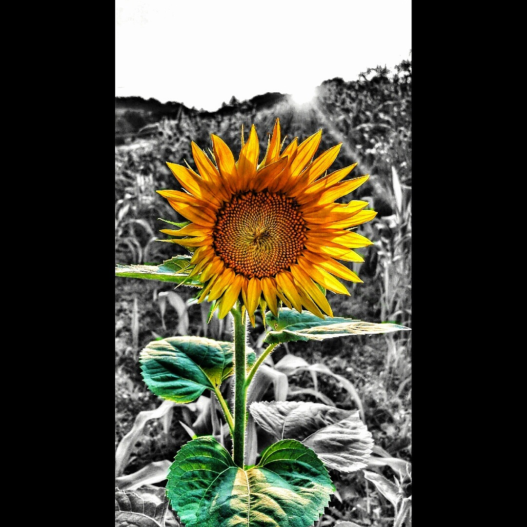 Sunflower by Kevin Smith
