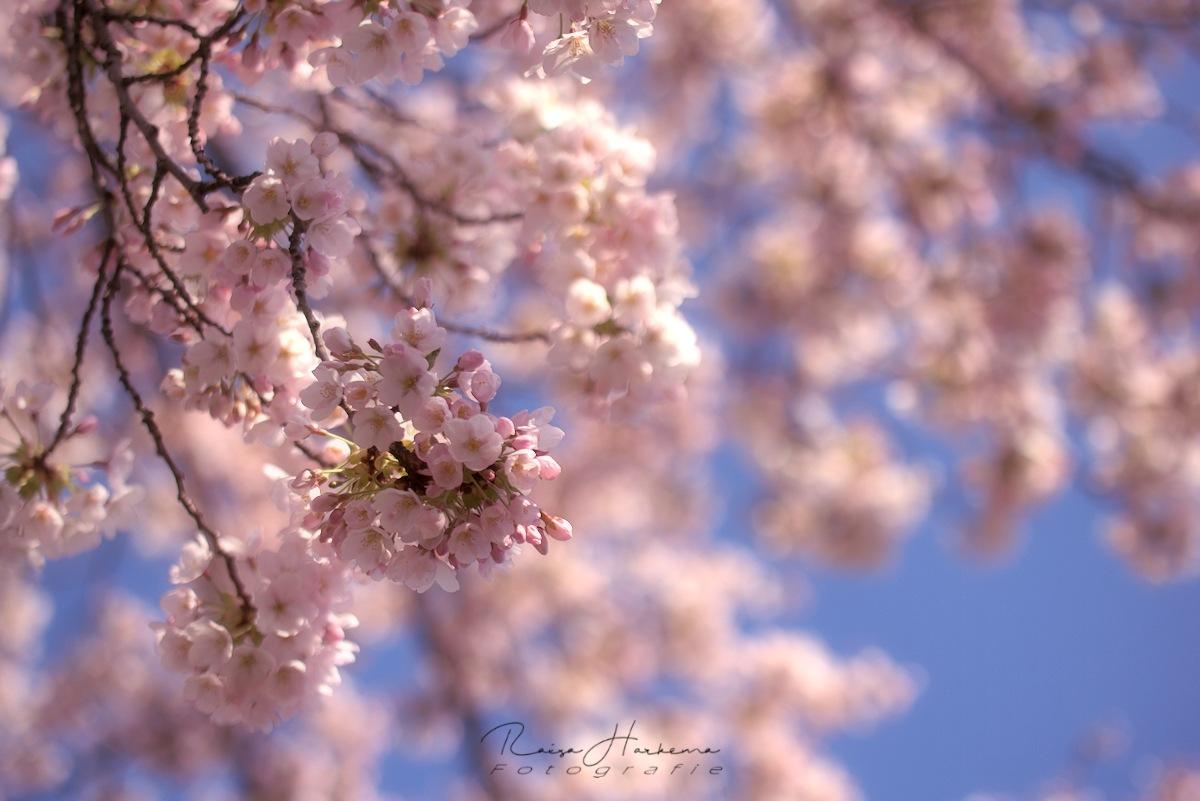 blossom by Raisa Harkema