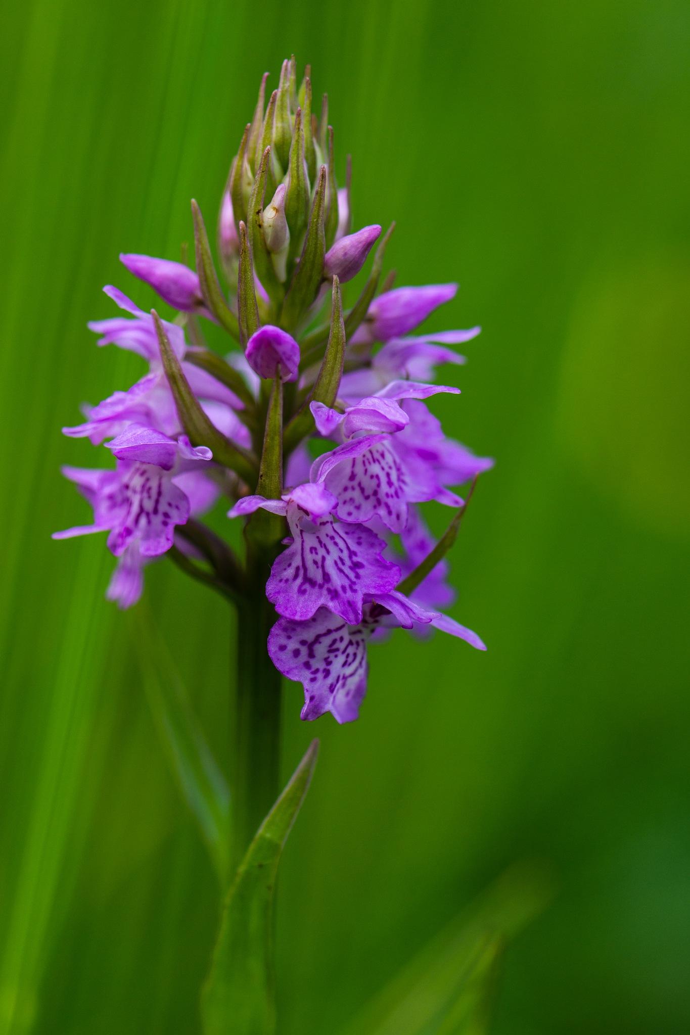 Wild Orchid by Judith Veenstra
