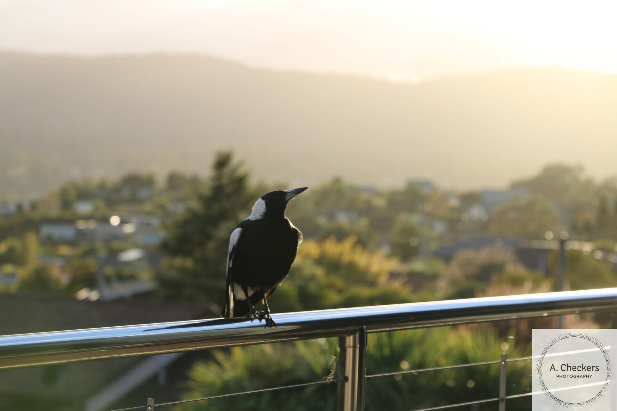 Morning visitor. by A. Checkers Photography