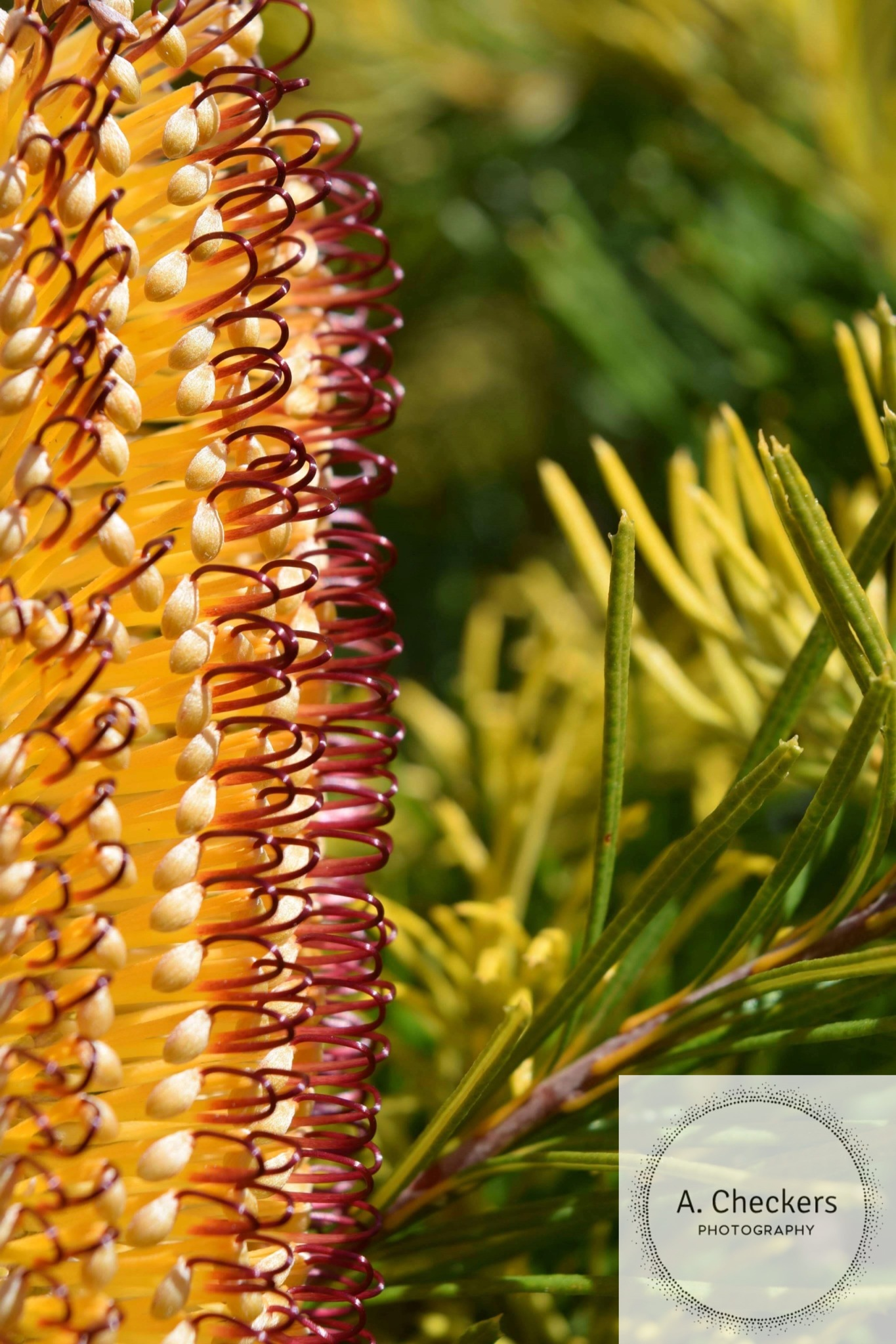 Banksia. by A. Checkers Photography