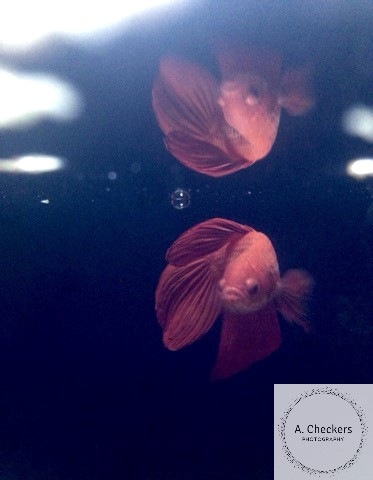 Fighting fish. by A. Checkers Photography