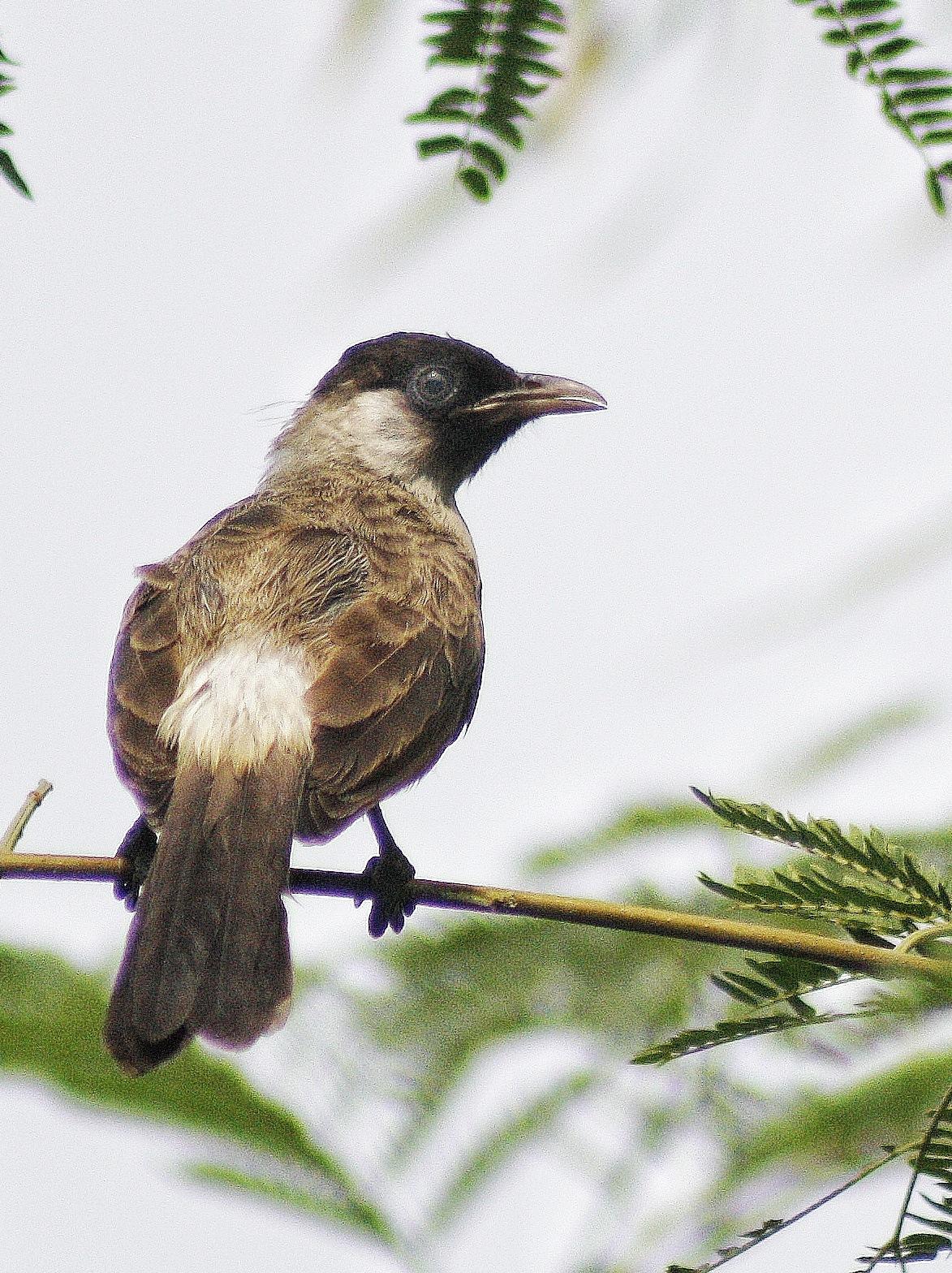 Bulbul bird by Retno