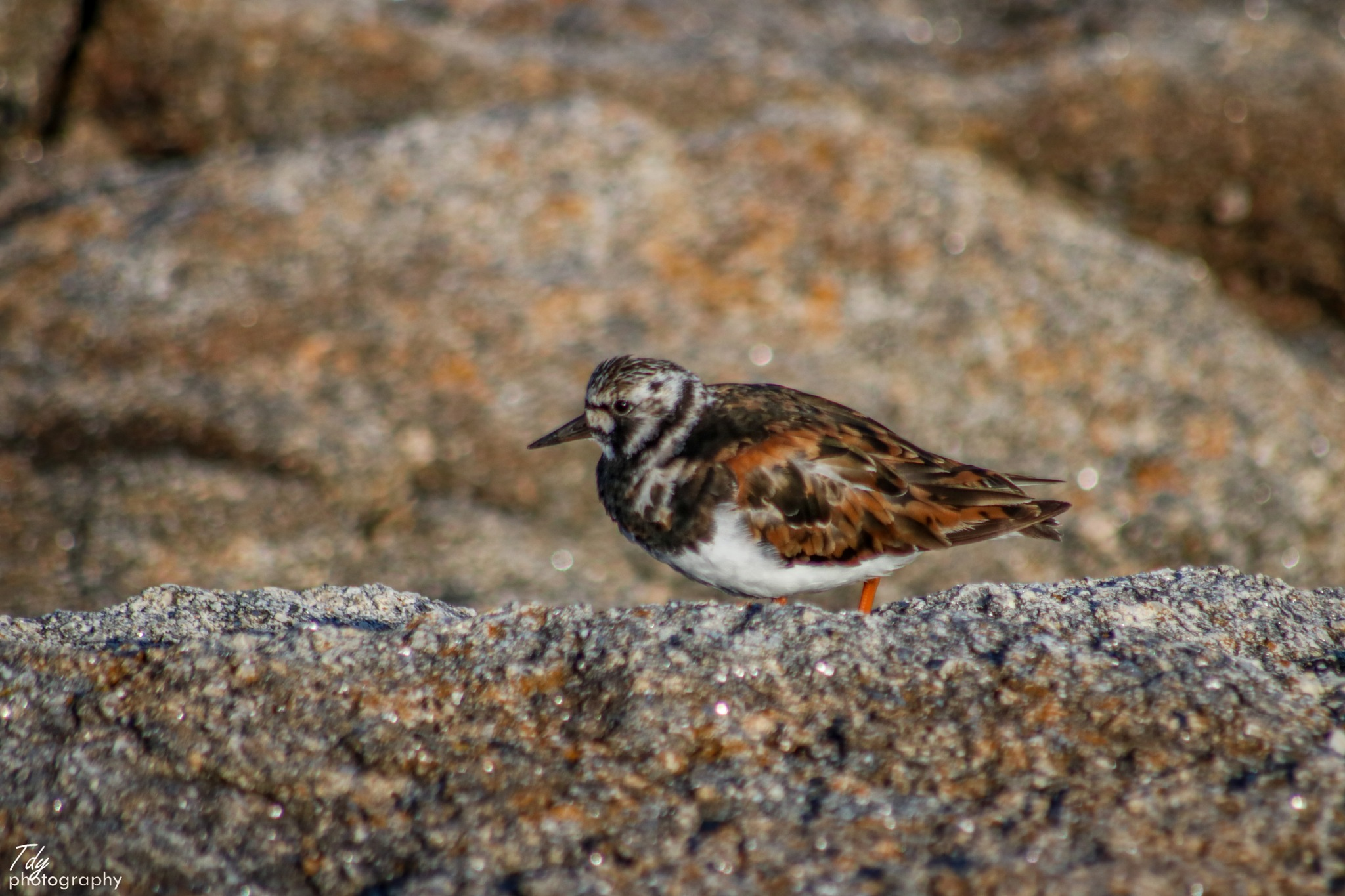 Ruddy turnstone  by Tdy Photography