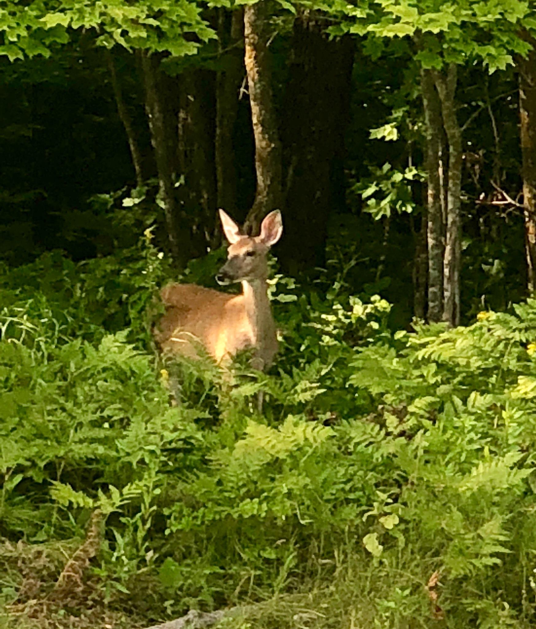Minnesota Deer by Shirley Workman