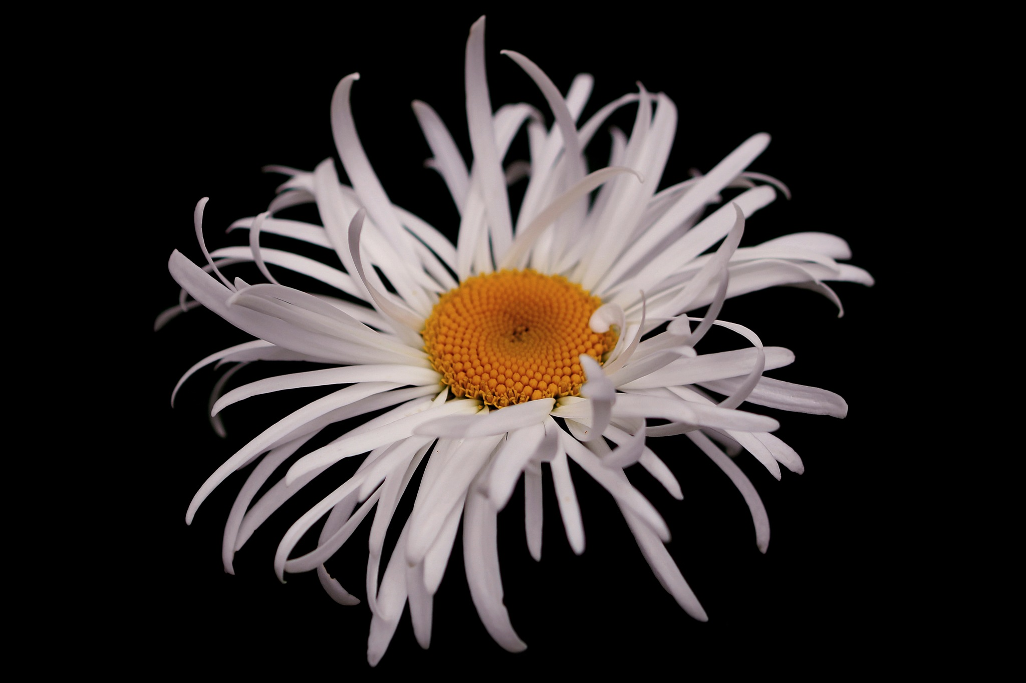 great white daisy  by dhoogetaniafotografie